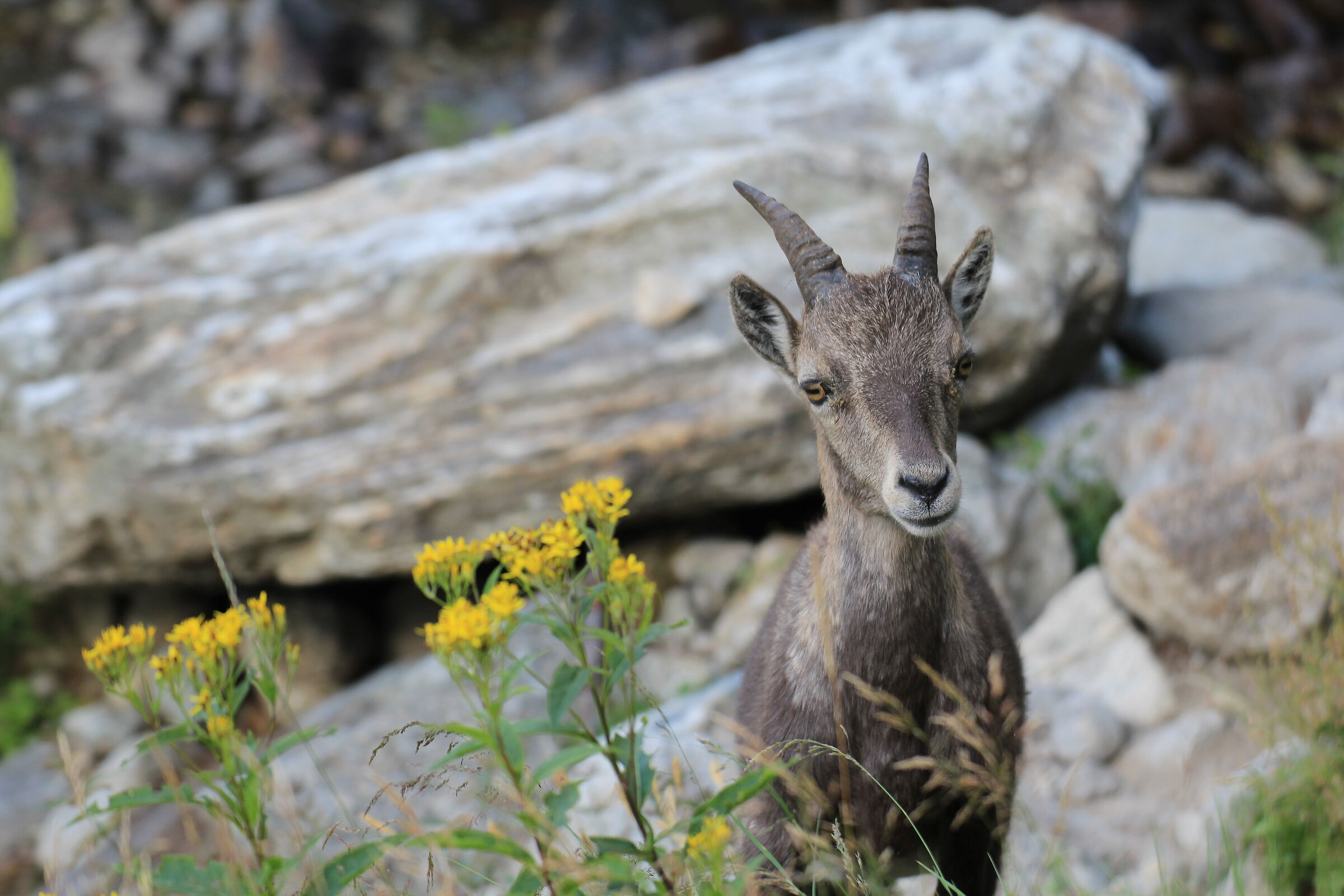 Ibex and yellow flowers...