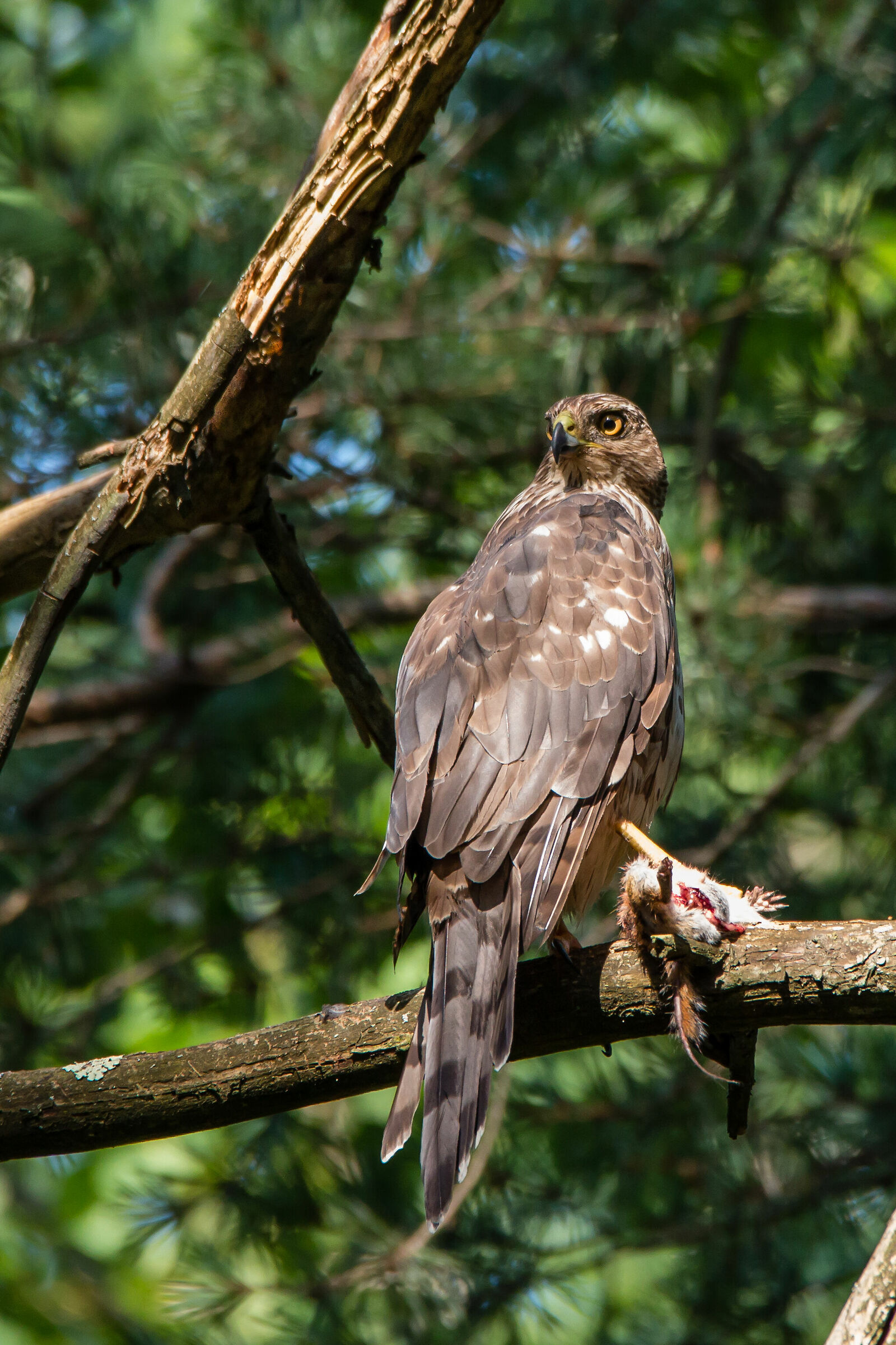 Adult Cooper Hawk with Prey (Accipiter co-workers)...