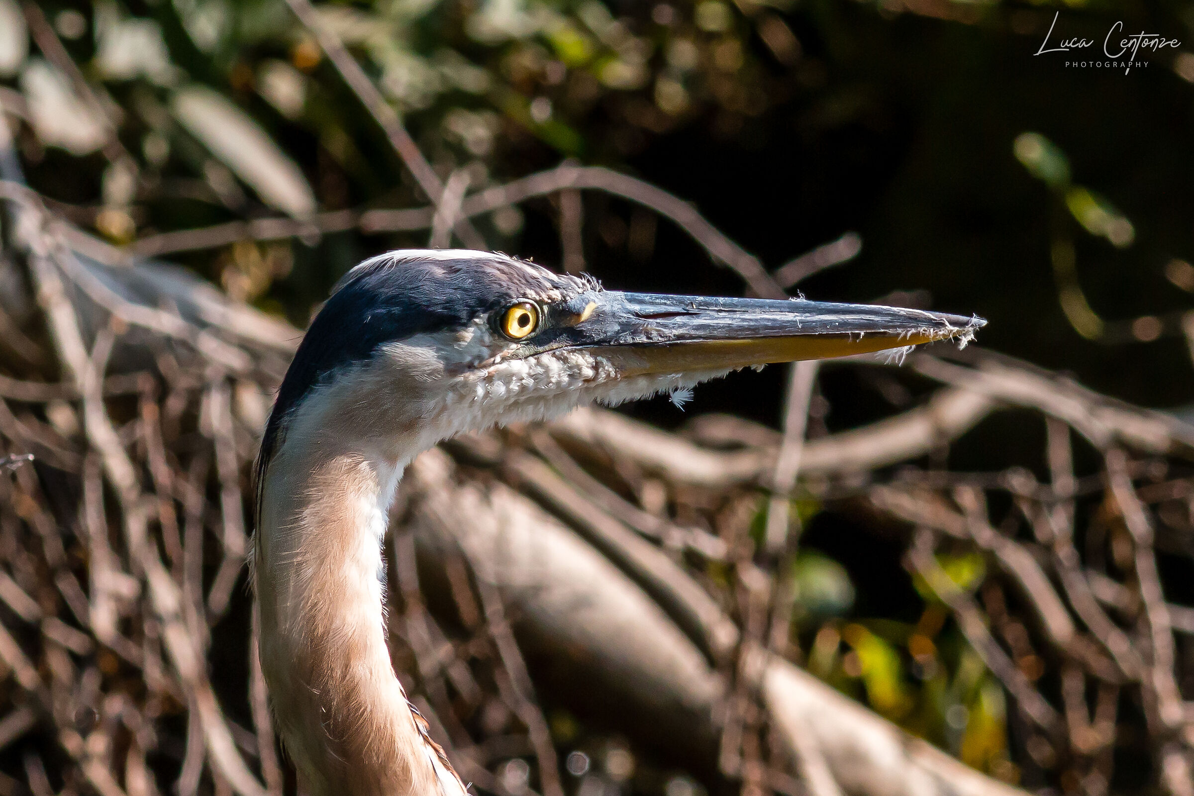 Great Blue Heron Close-up...