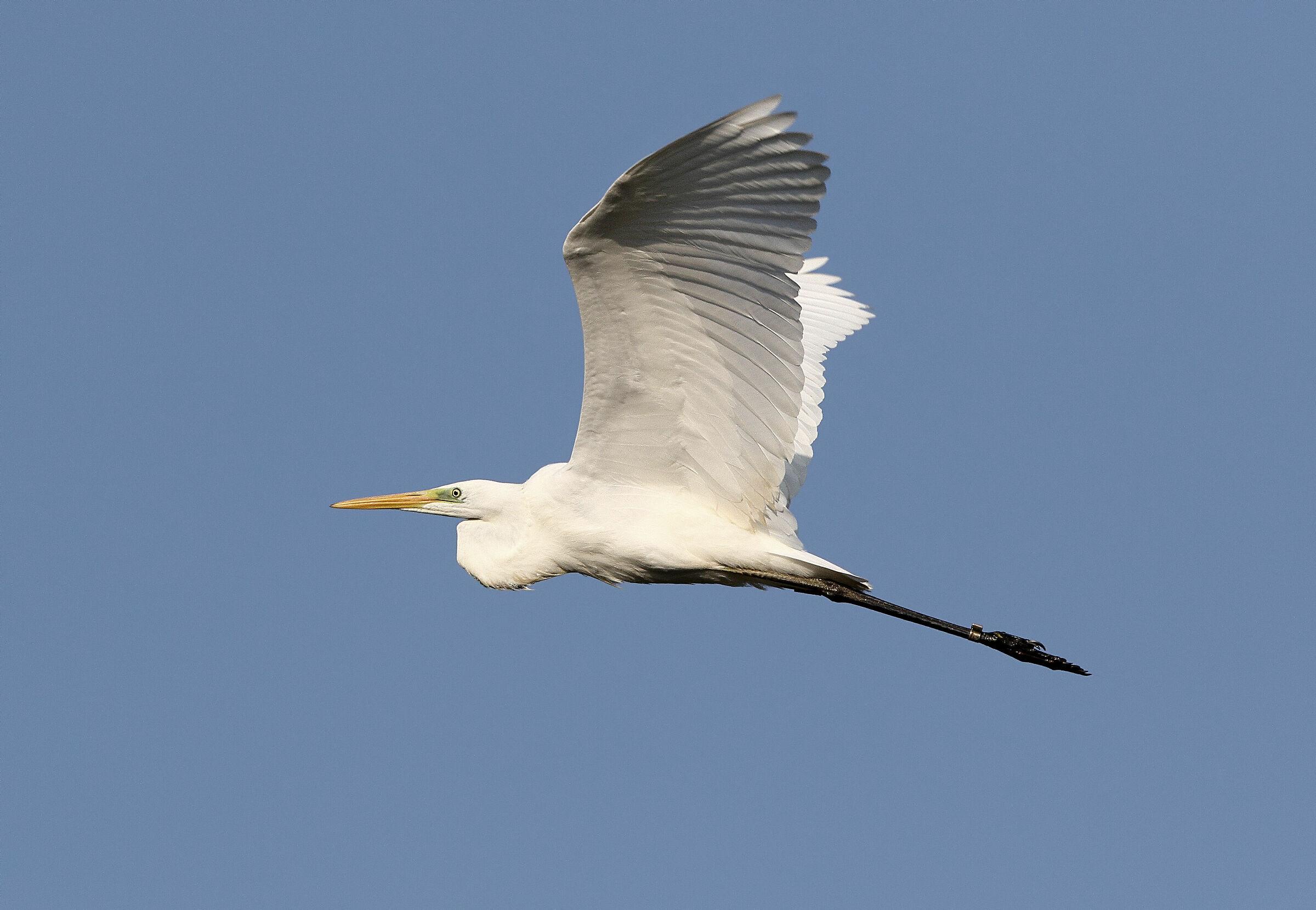 Major white heron...