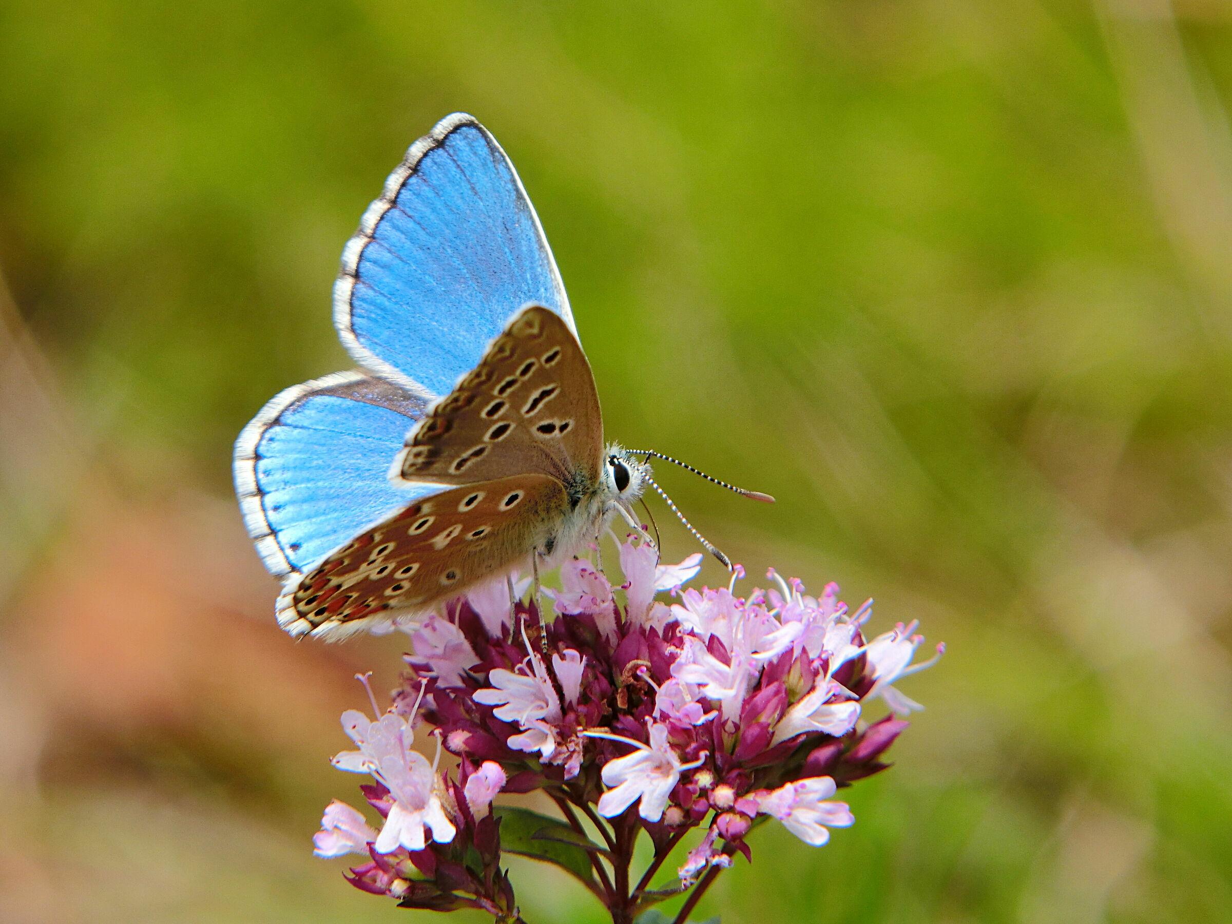 Blue Argo Male (Polyommatus Icarus) ...