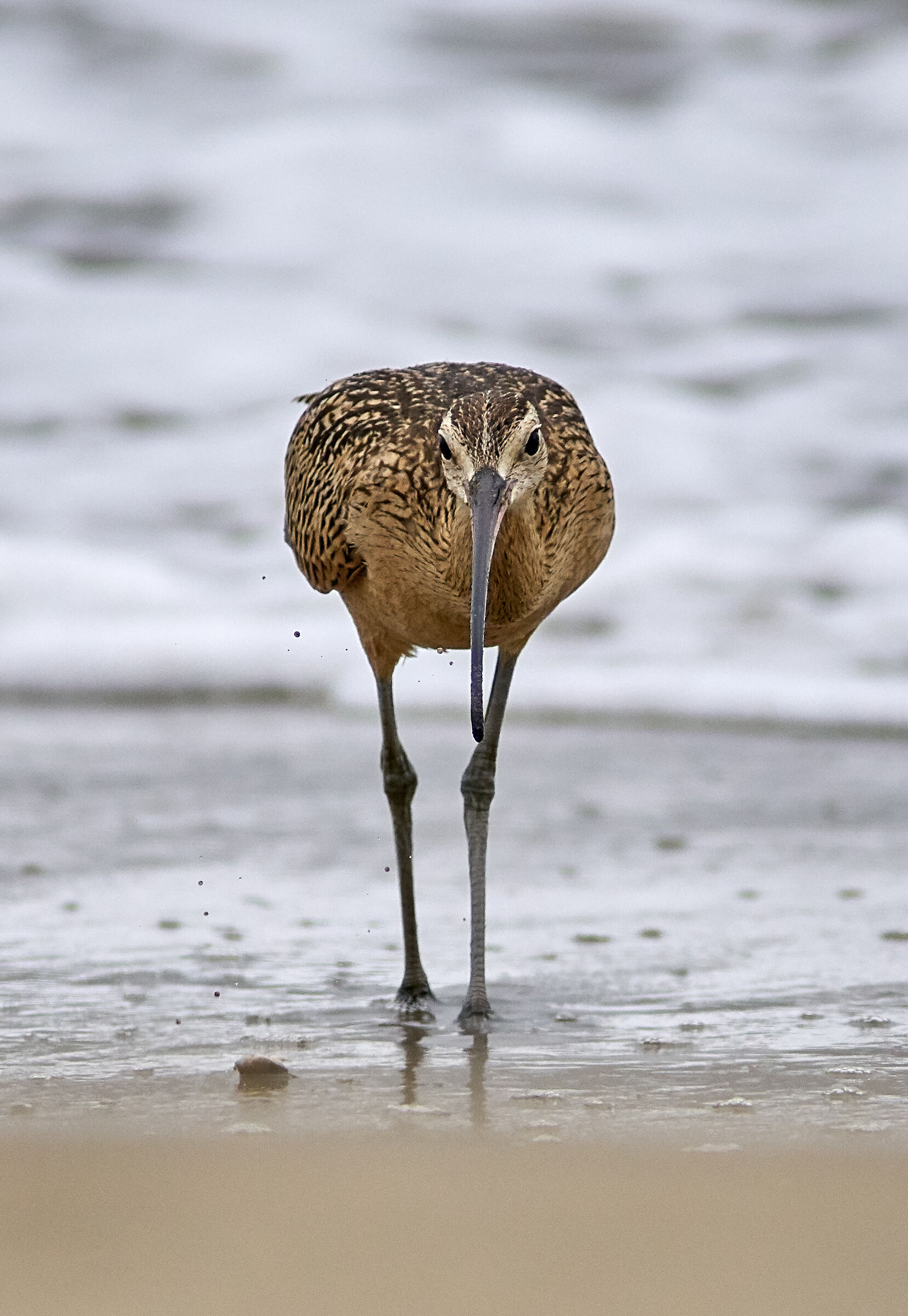 Long-billed Curlew...