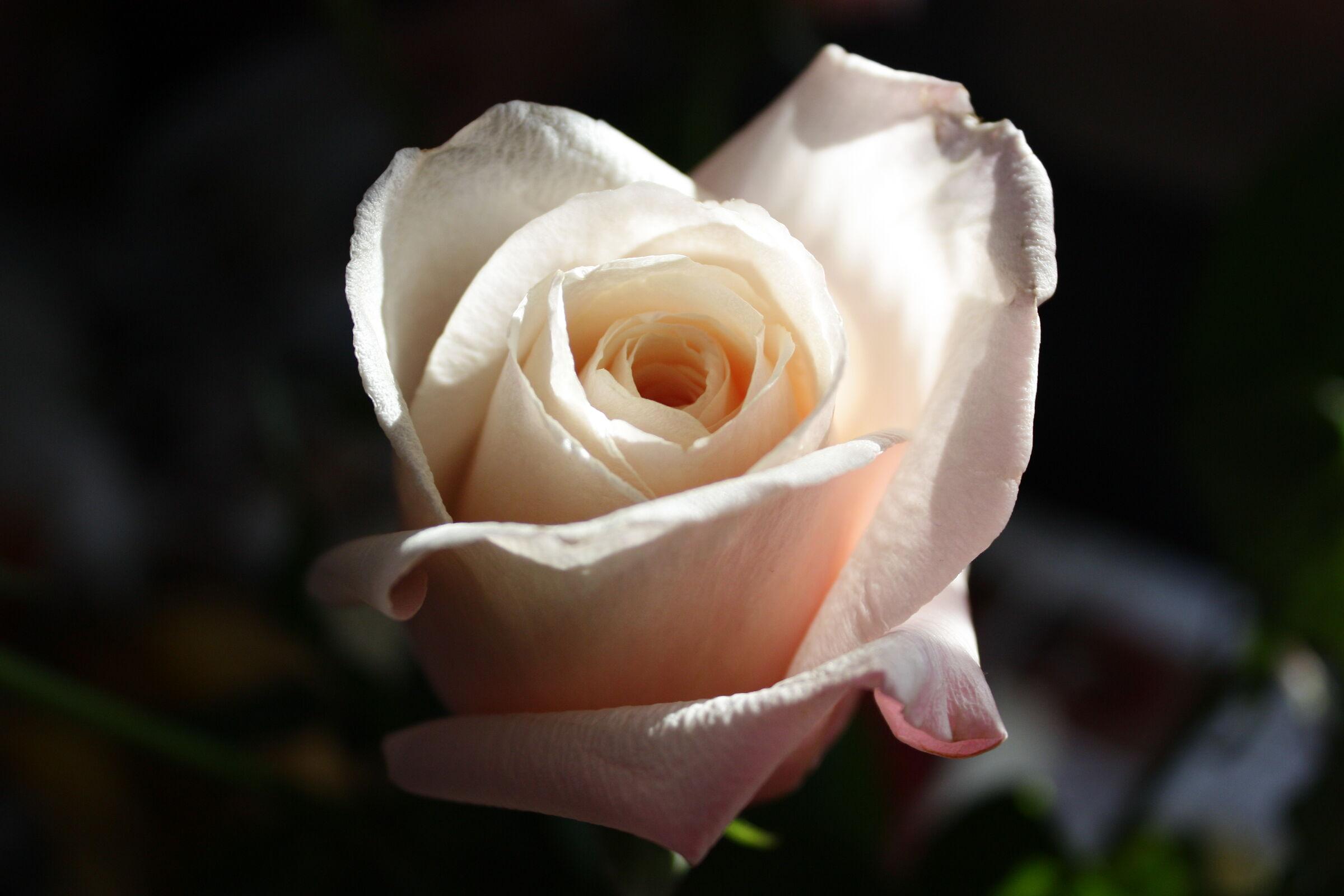 Rose  II...