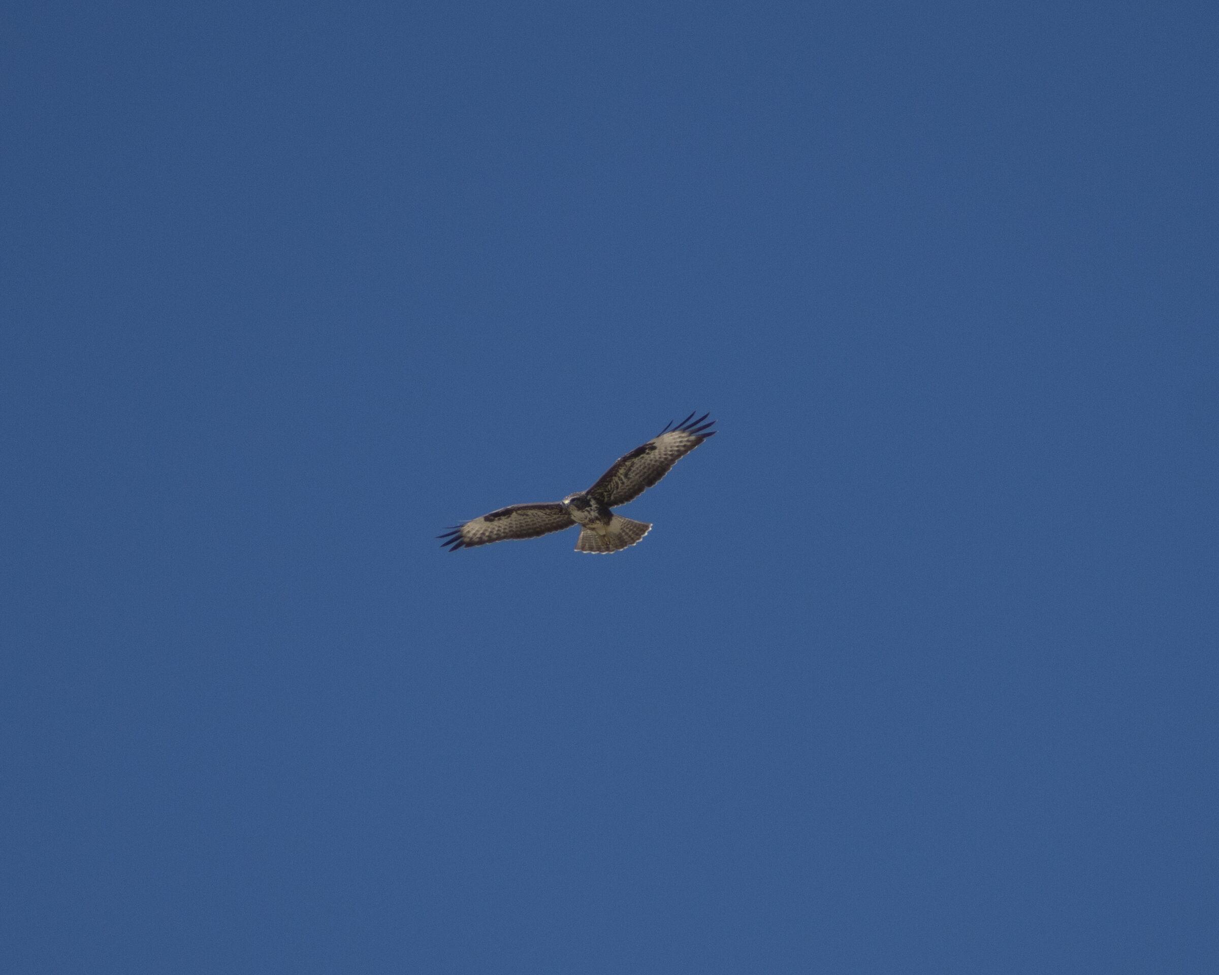 honey buzzard...