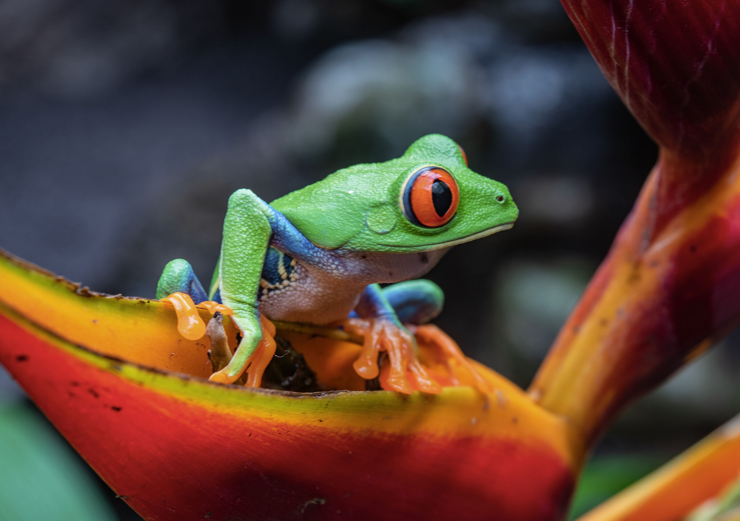 frog of the rosial eyes...