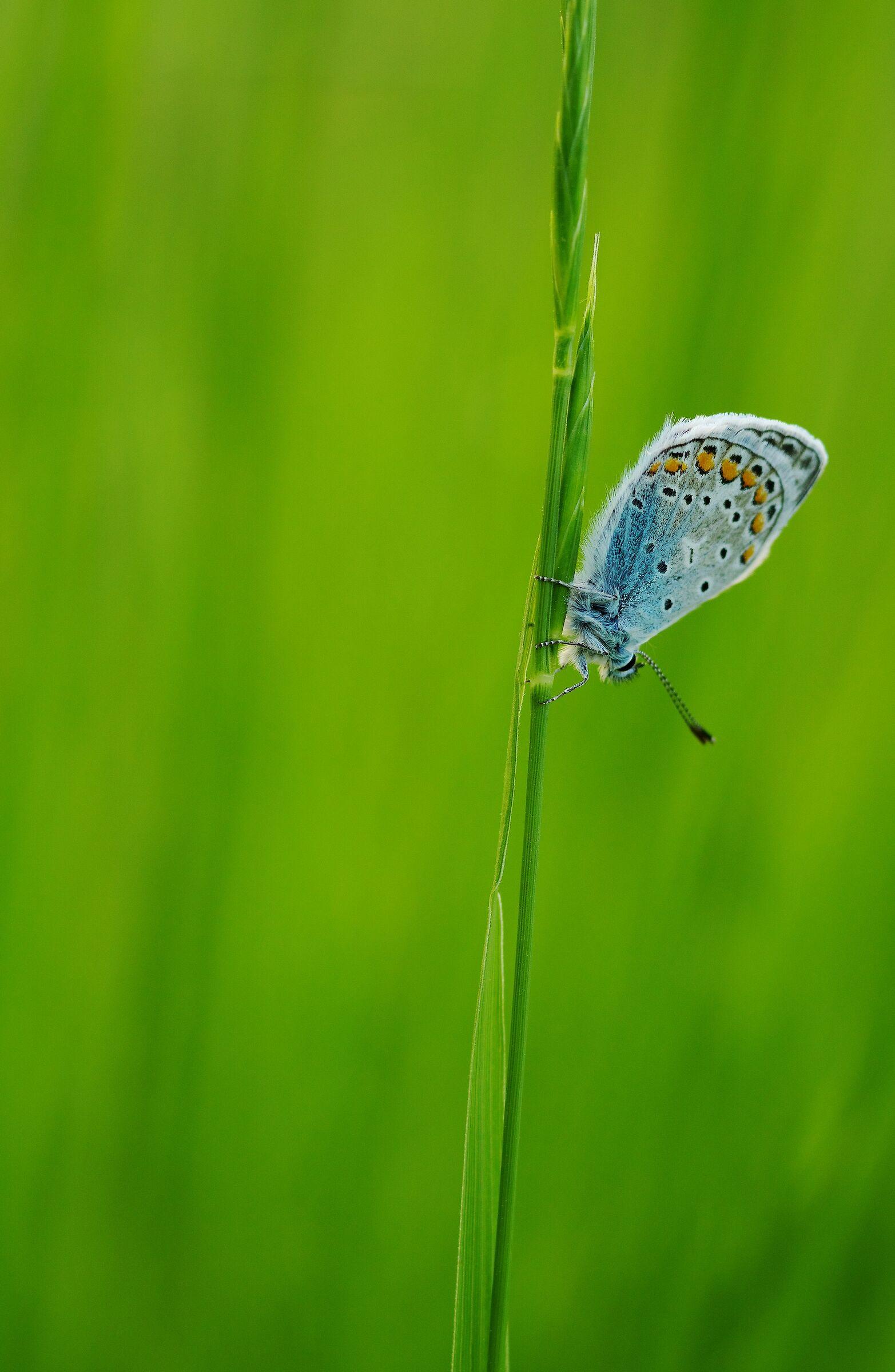 Polyammatus Icarus...