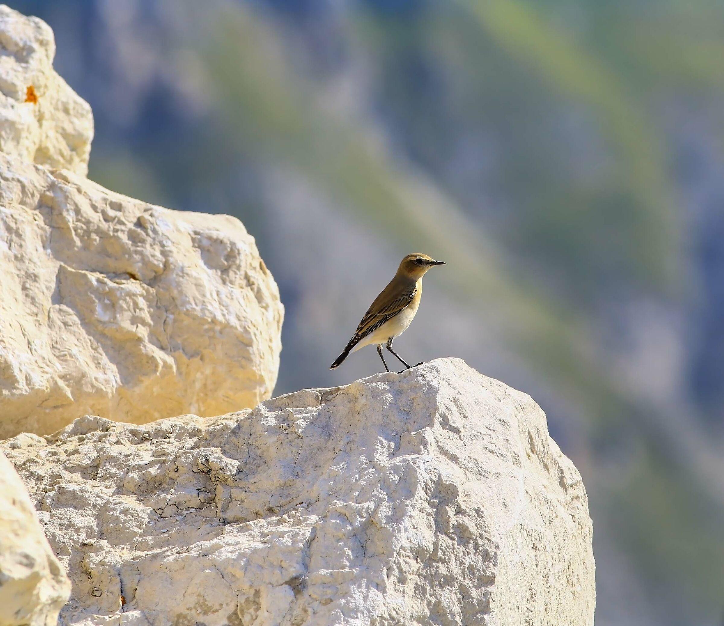 Alpine Finch...