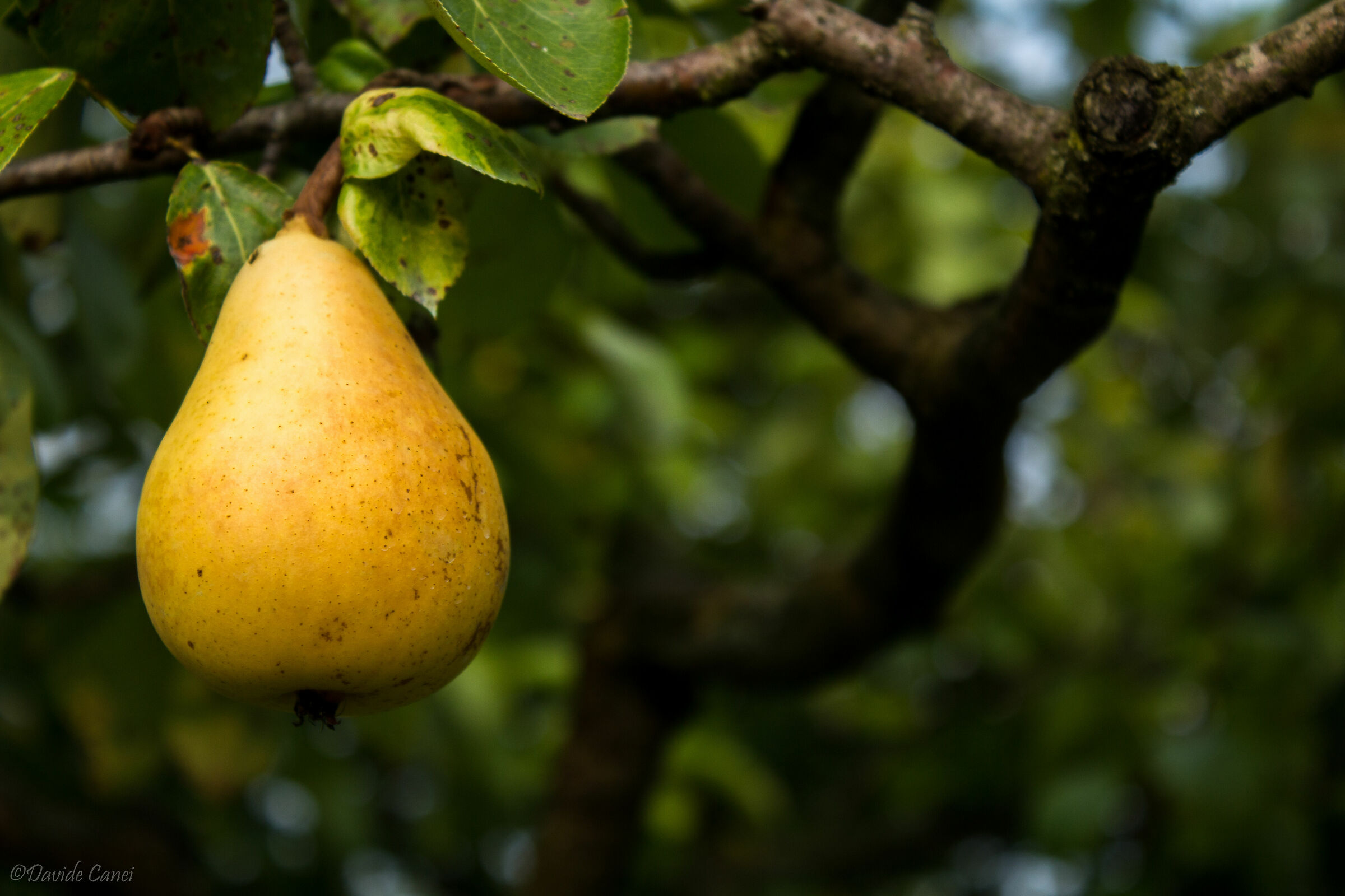 Pear...