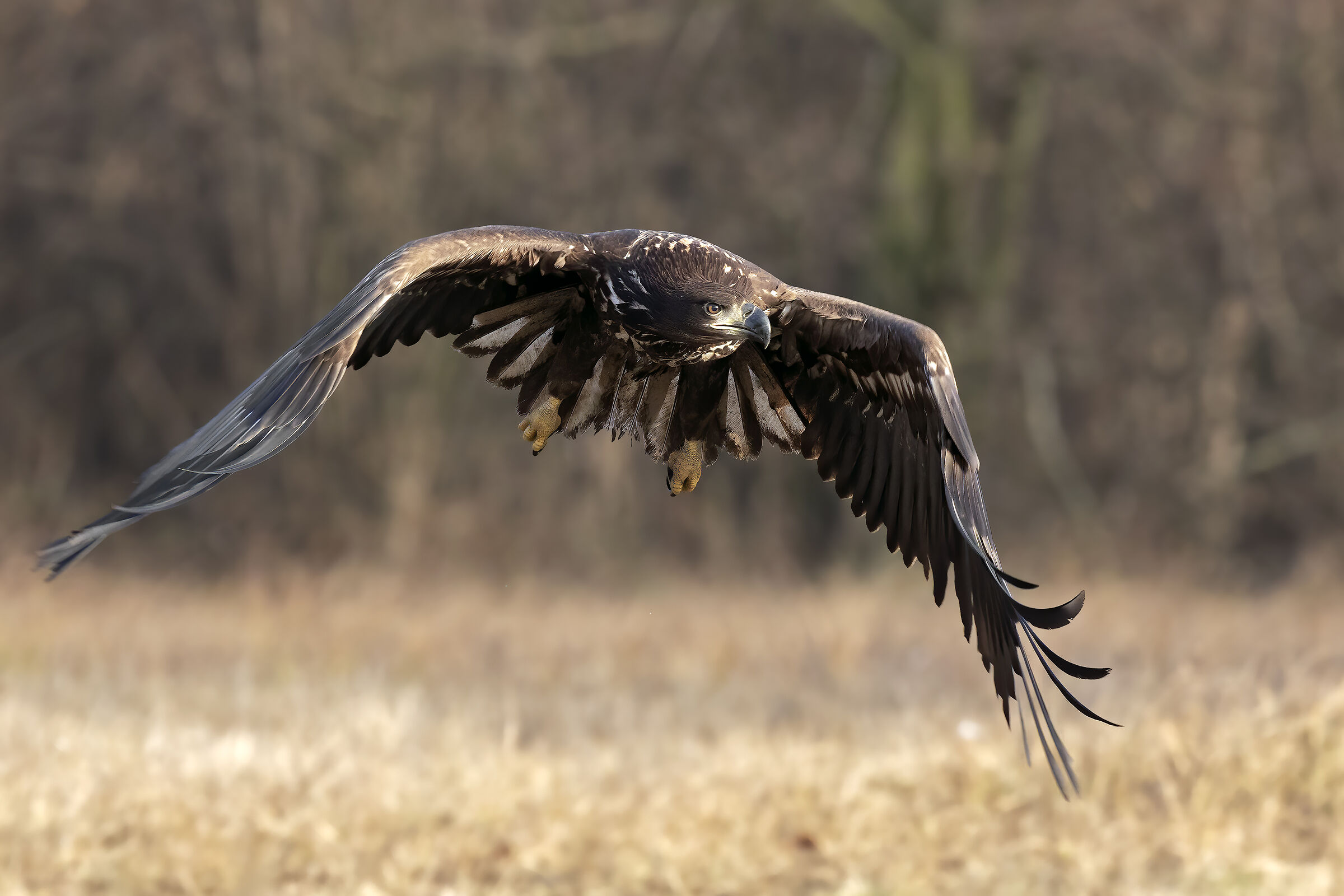 White-tailed sea eagle ...