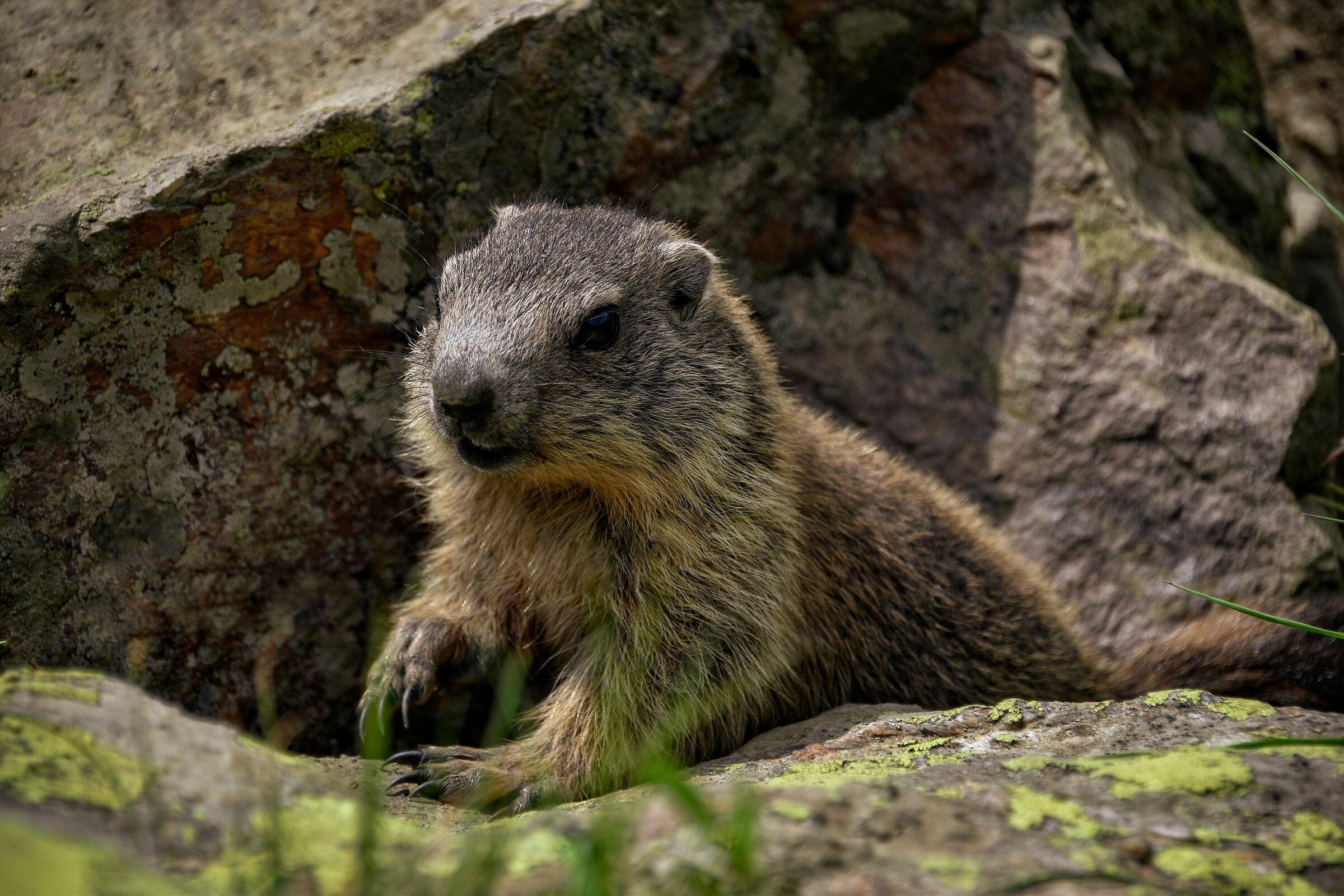 Una piccola marmotta...