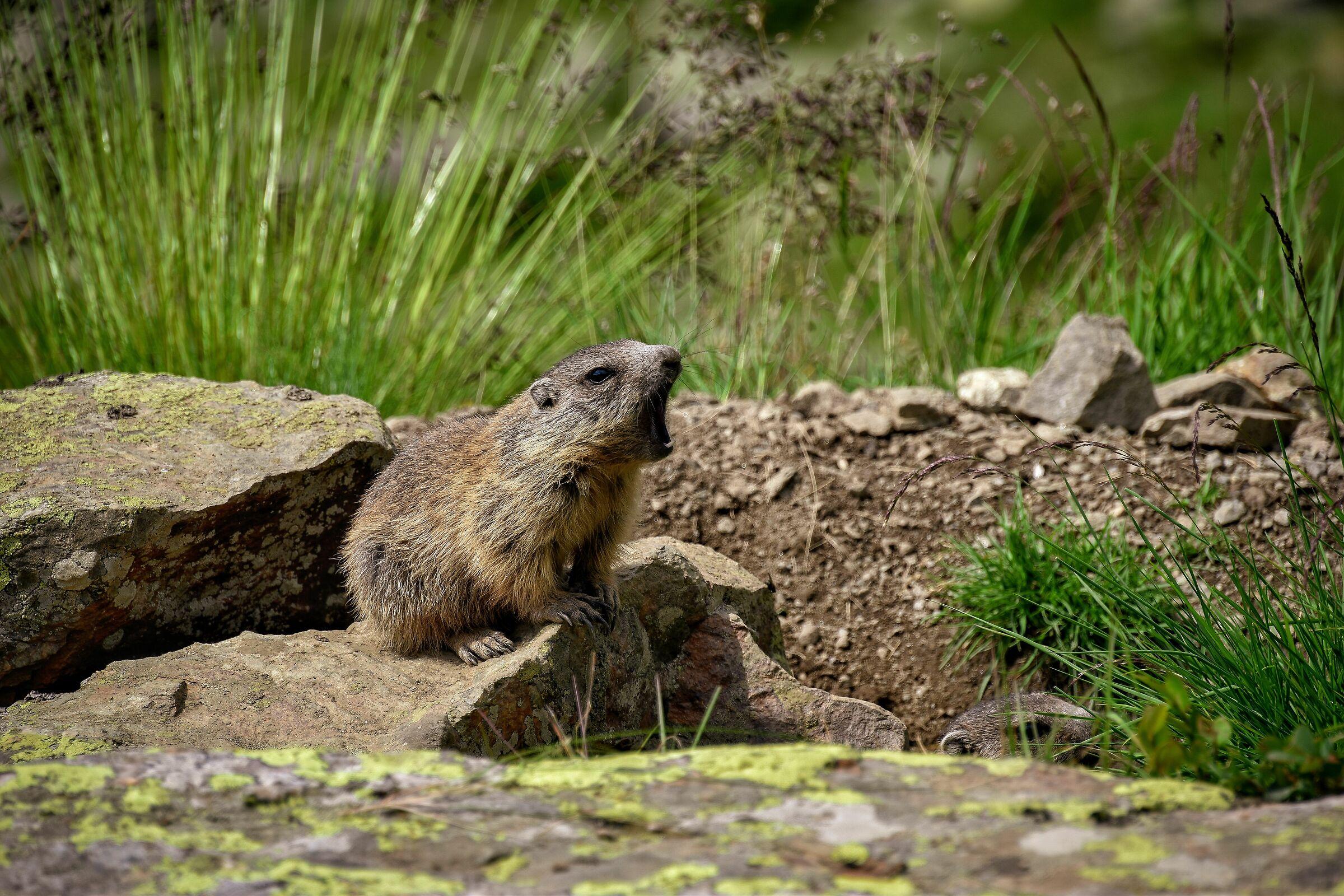 Marmotta assonnata...