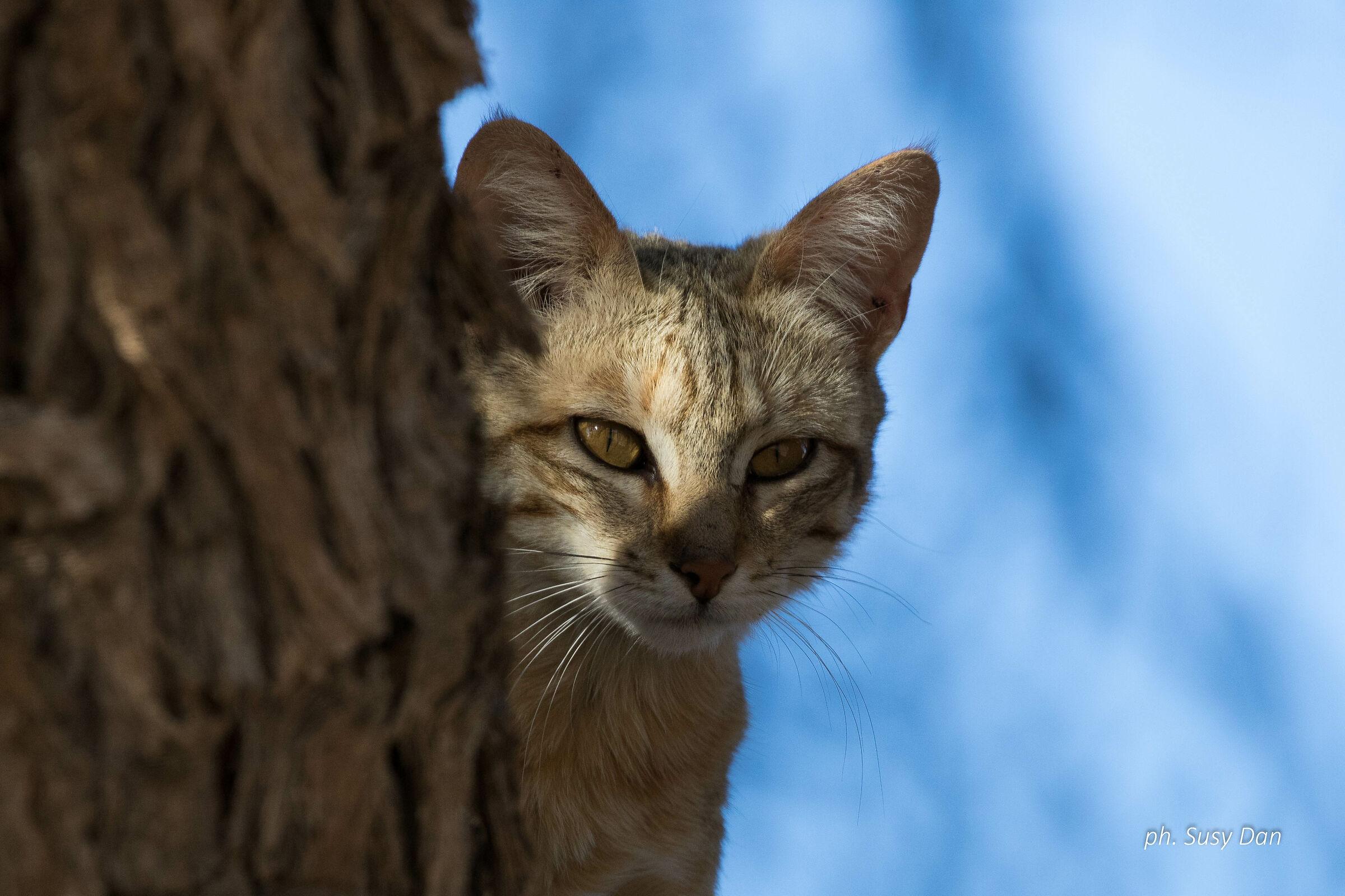 Gatto selvatico africano...