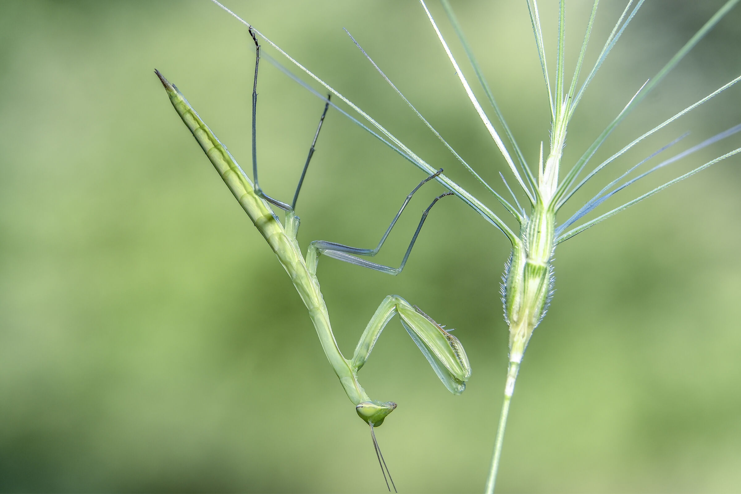 Young religious mantis...