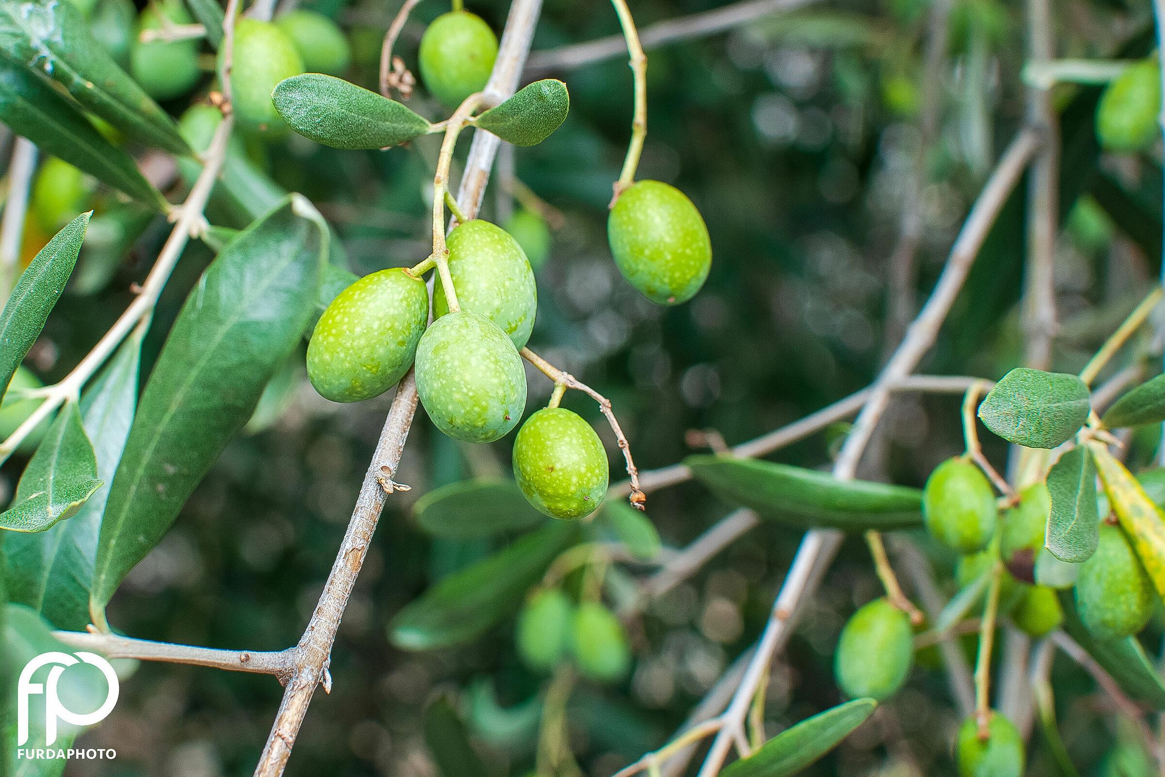 Olive di Montisola...