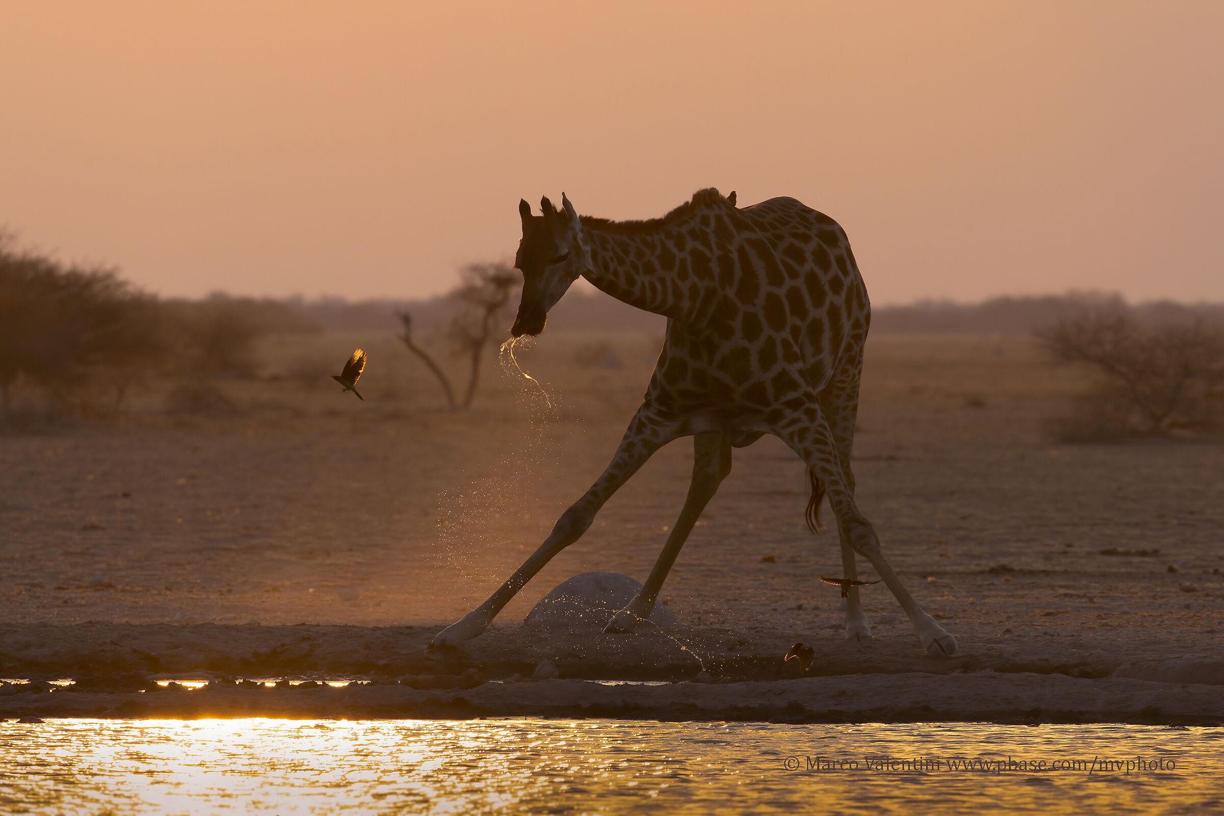 The Sunset of the Giraffe...