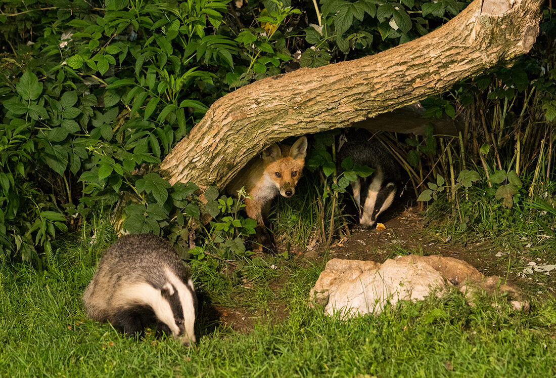 fox in the badger's den...