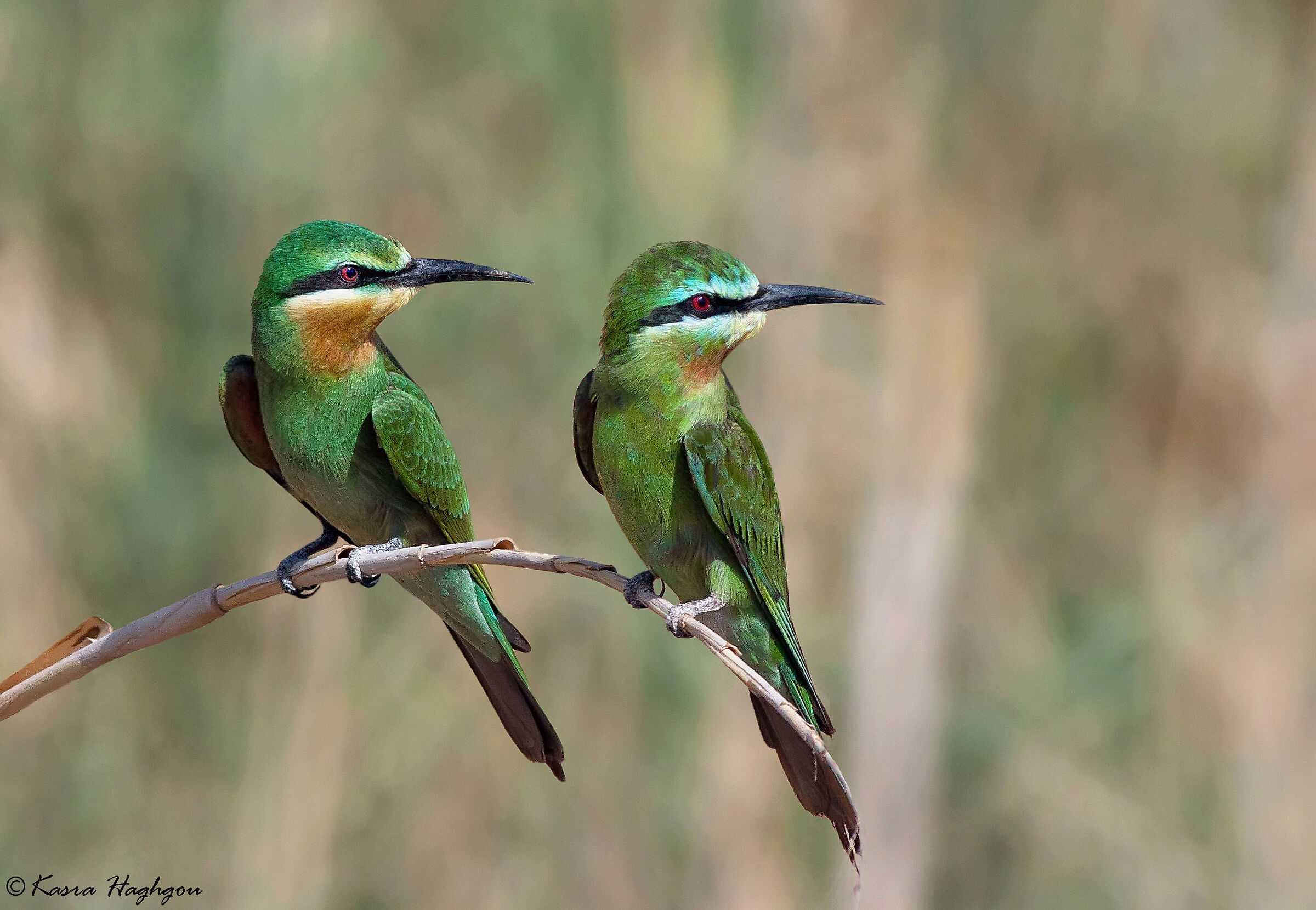 Blue-cheeked bee-eater...