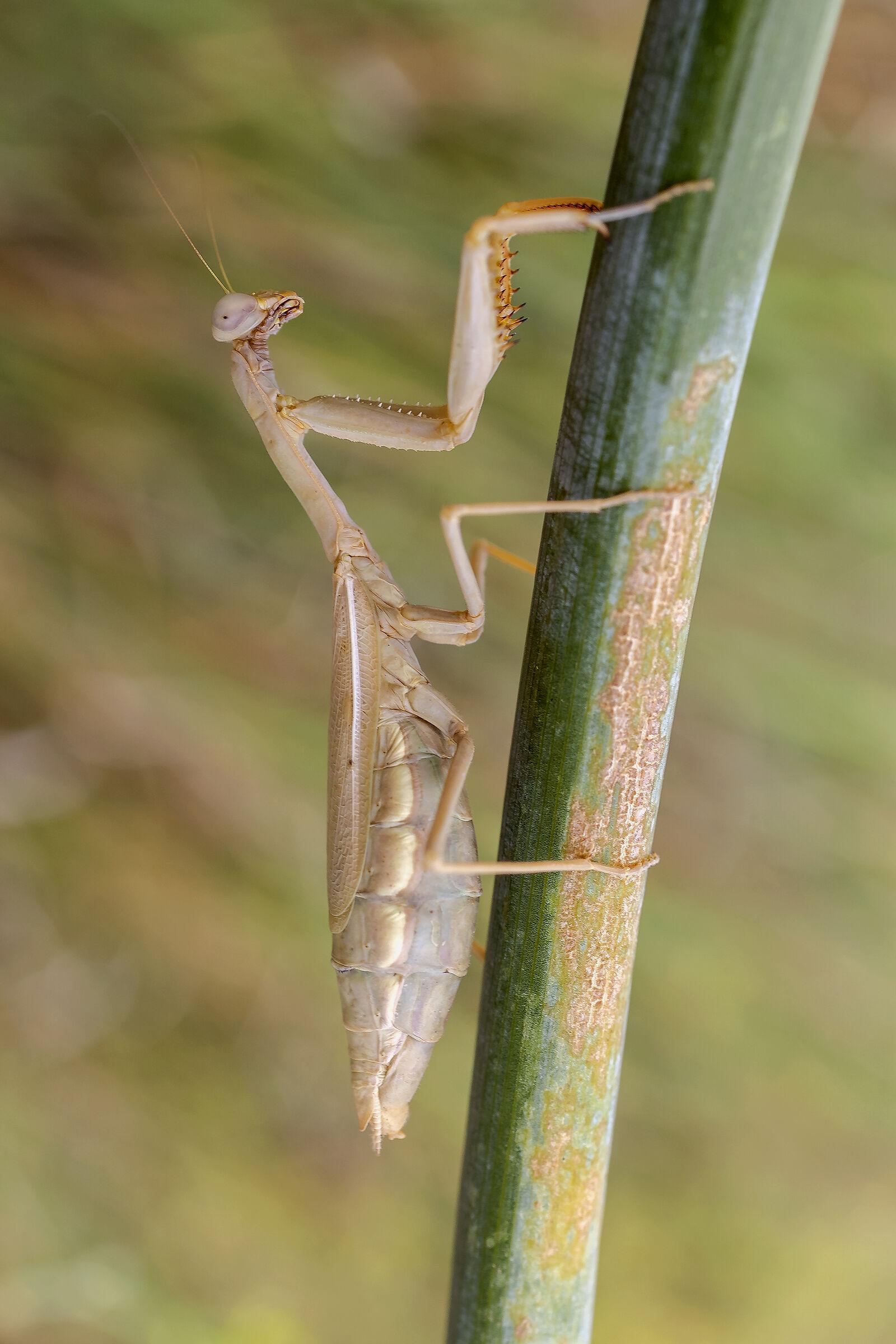 Religious mantis....