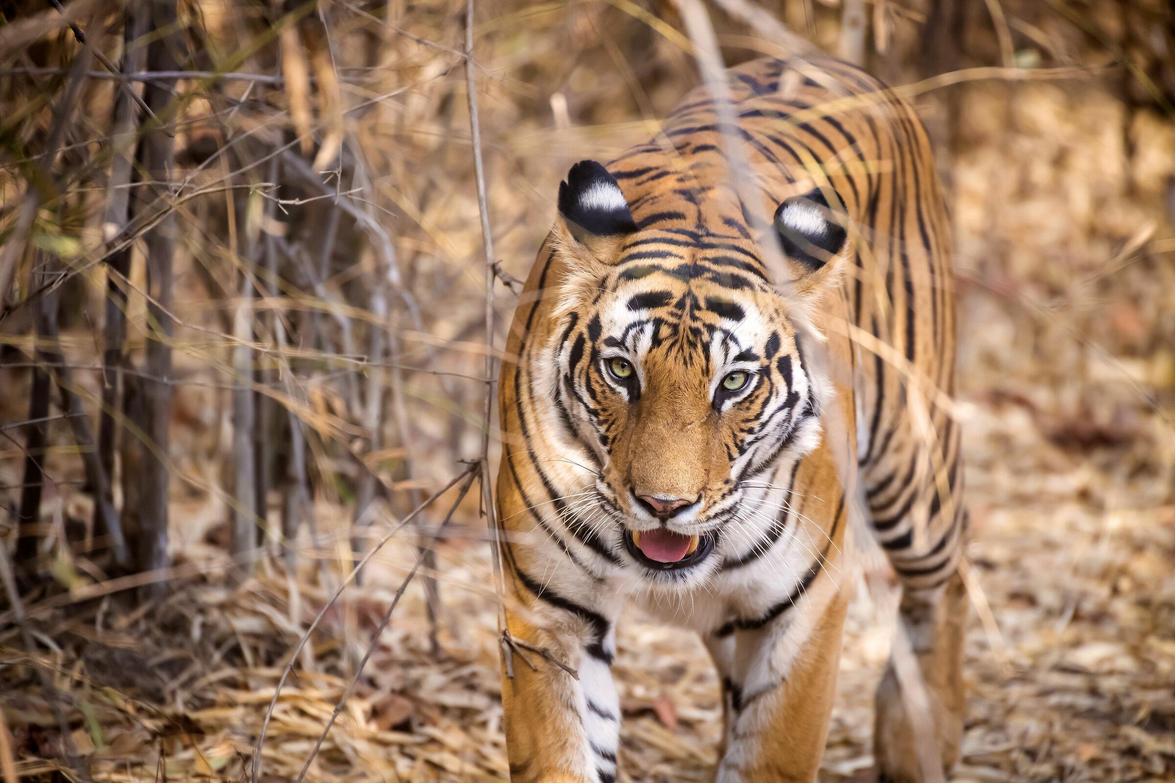 La tigre Dotty...