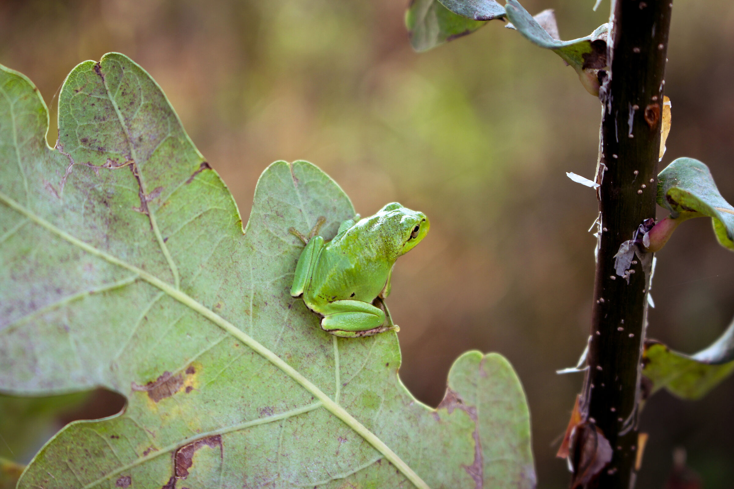St. John's Frog (PP)...