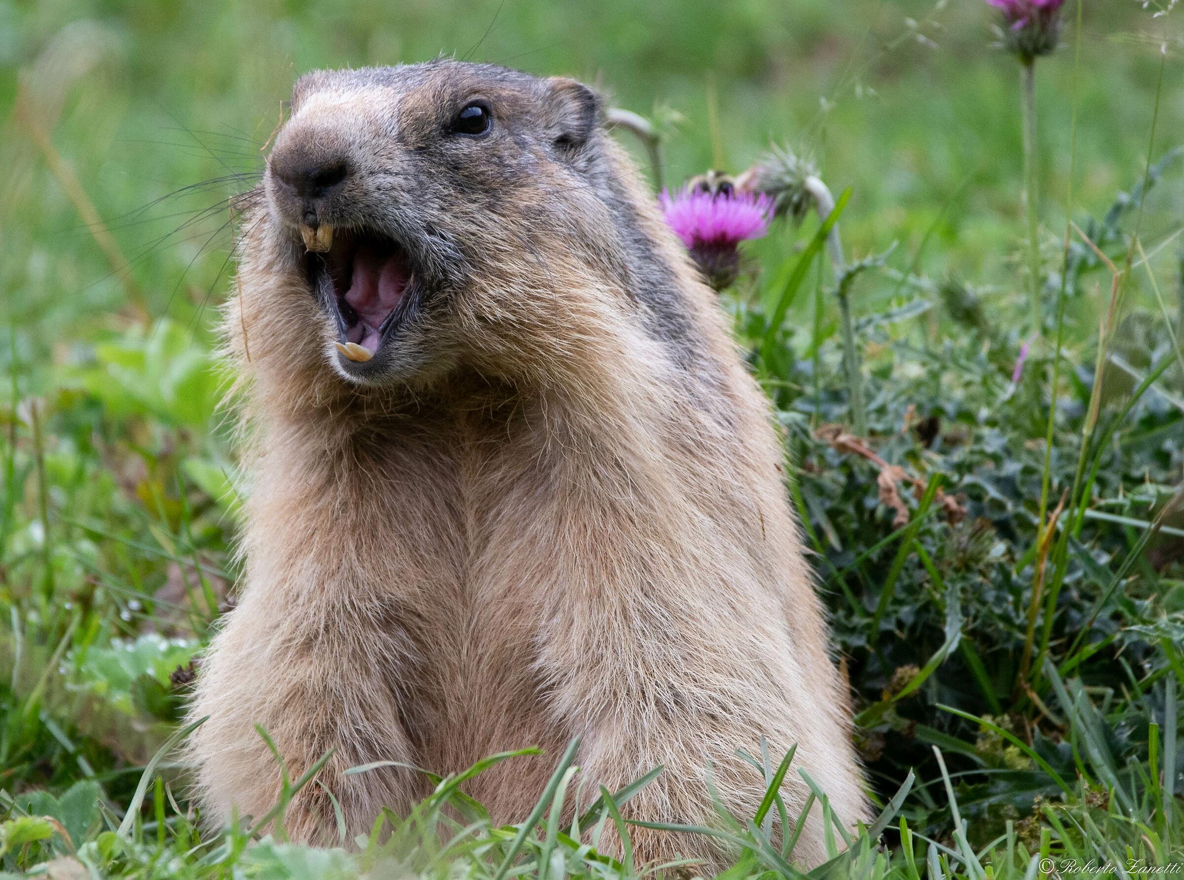 Angry Marmot...