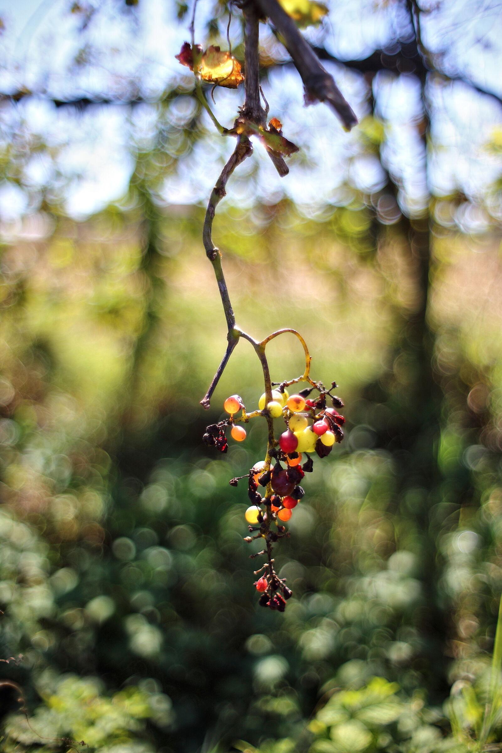 Grape time...