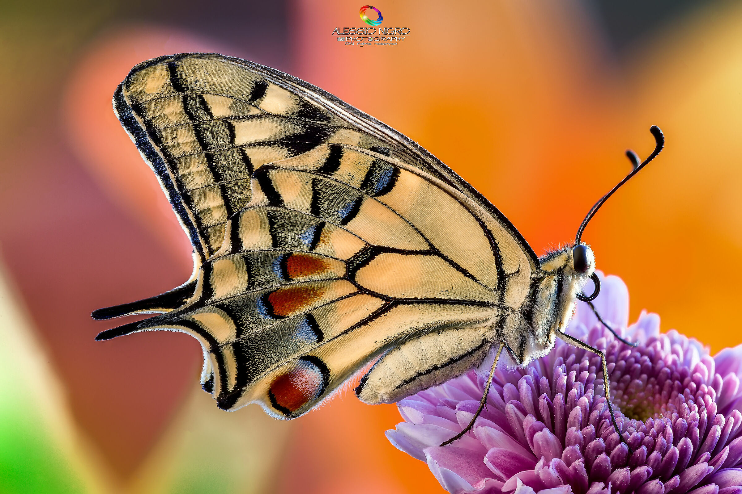 The Machaon and his Flower...