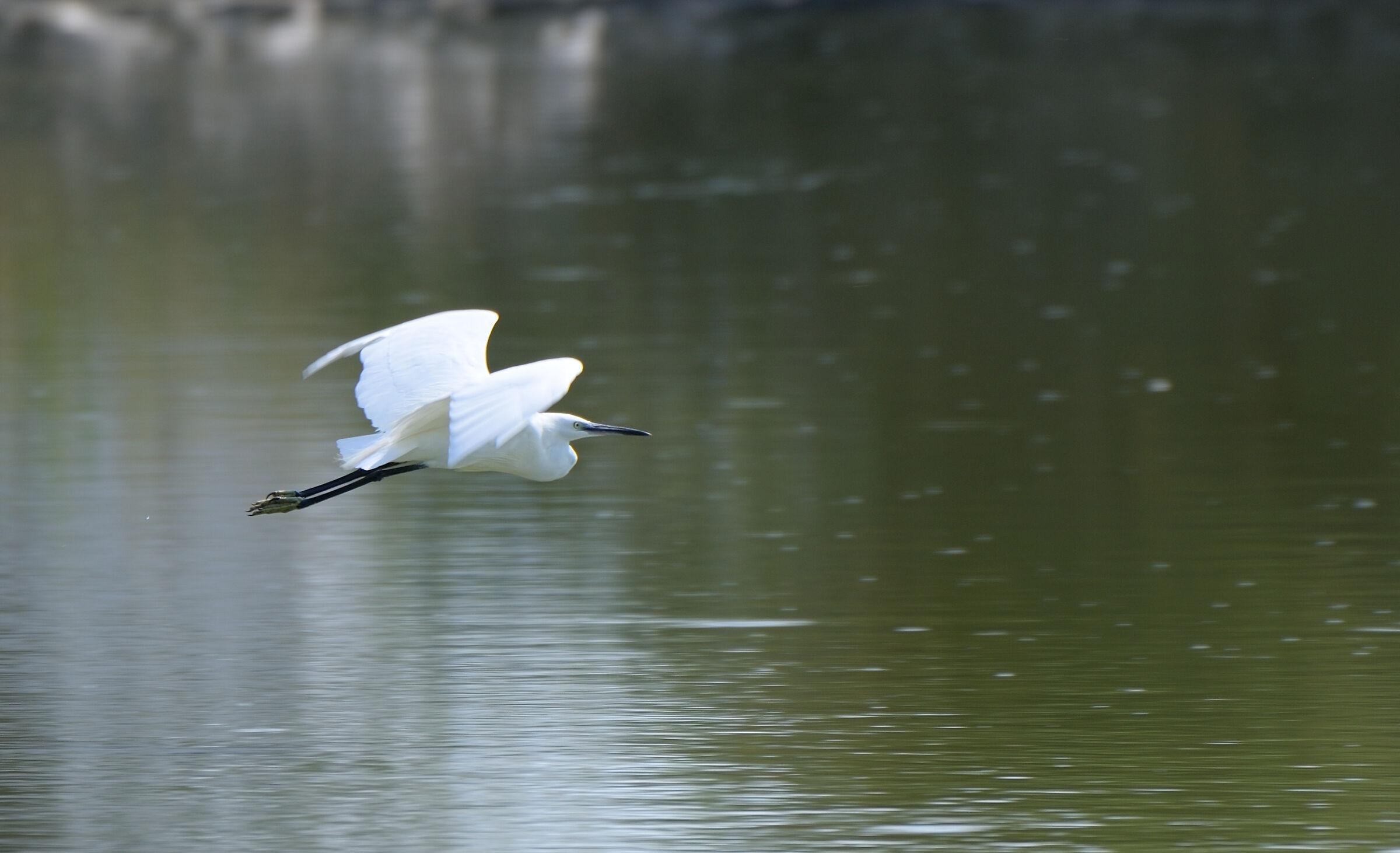 Egretta Garzetta in flight...