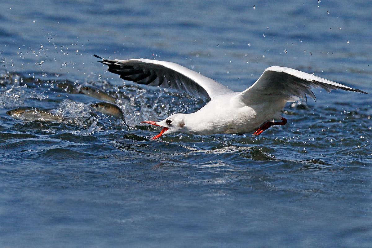 Common seagull in the shape of scissors beak...