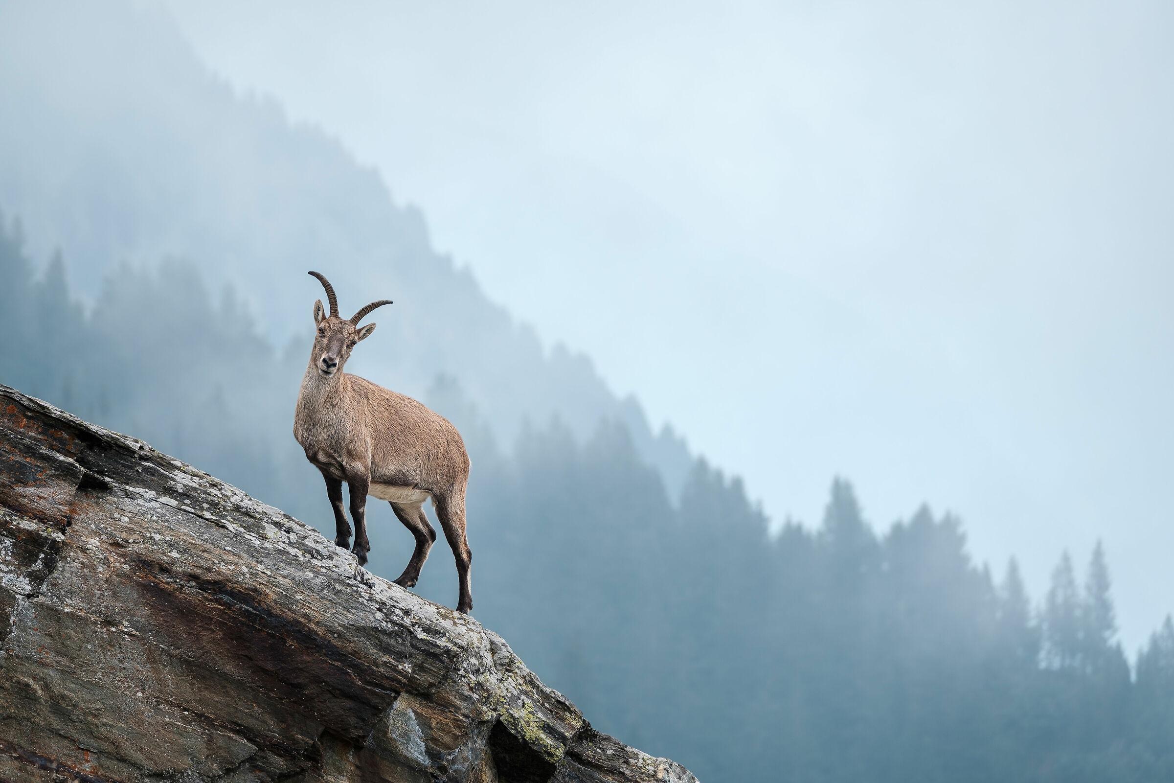 My first ibex...