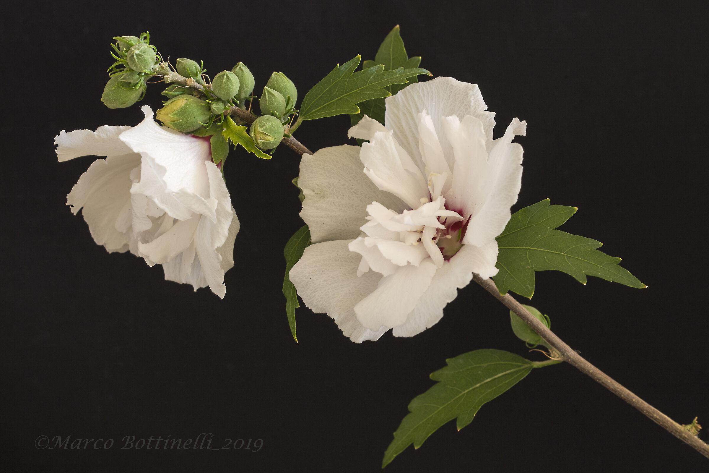 White Hibiscus...