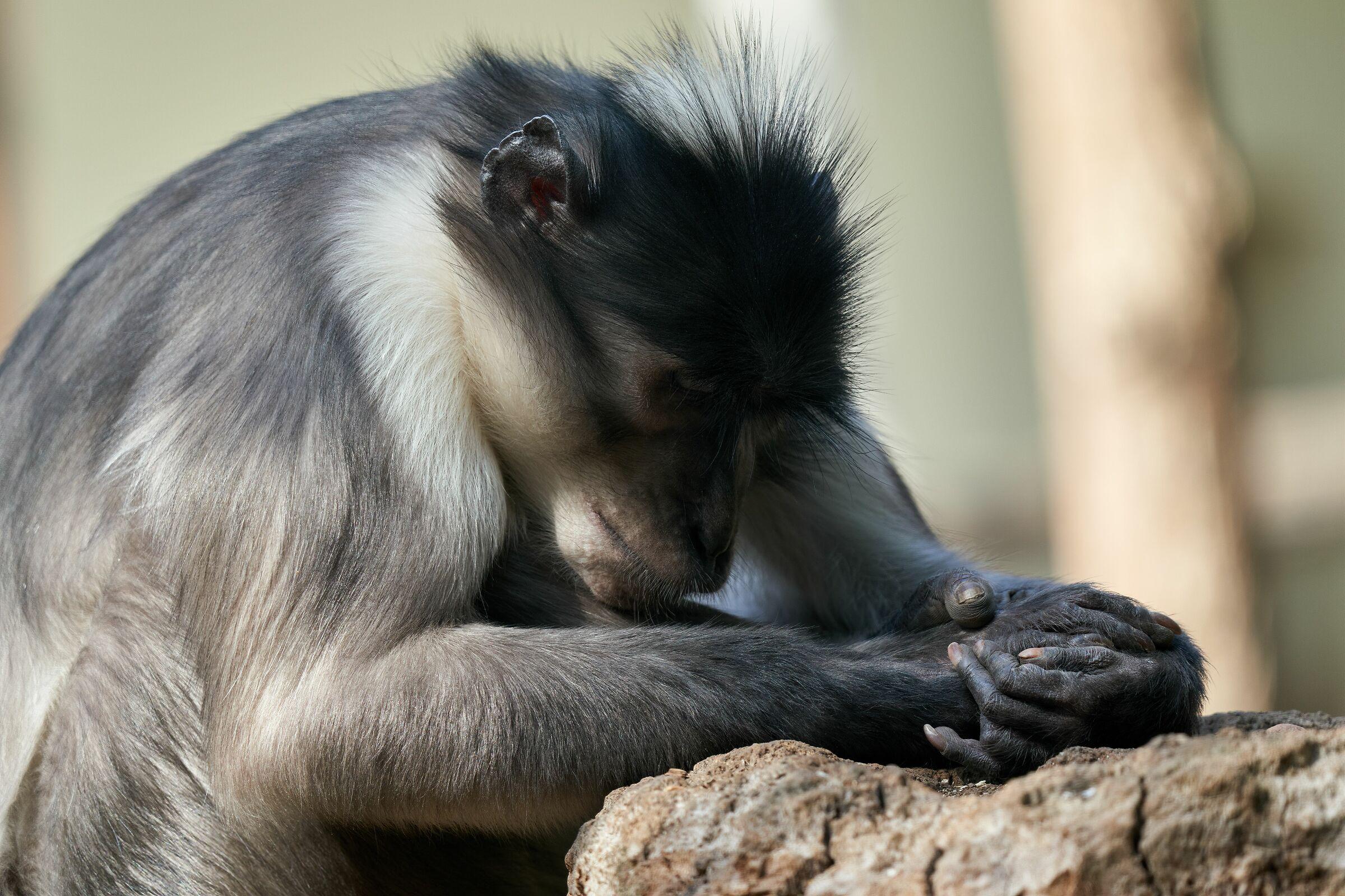 Scimpanzé dormiente...