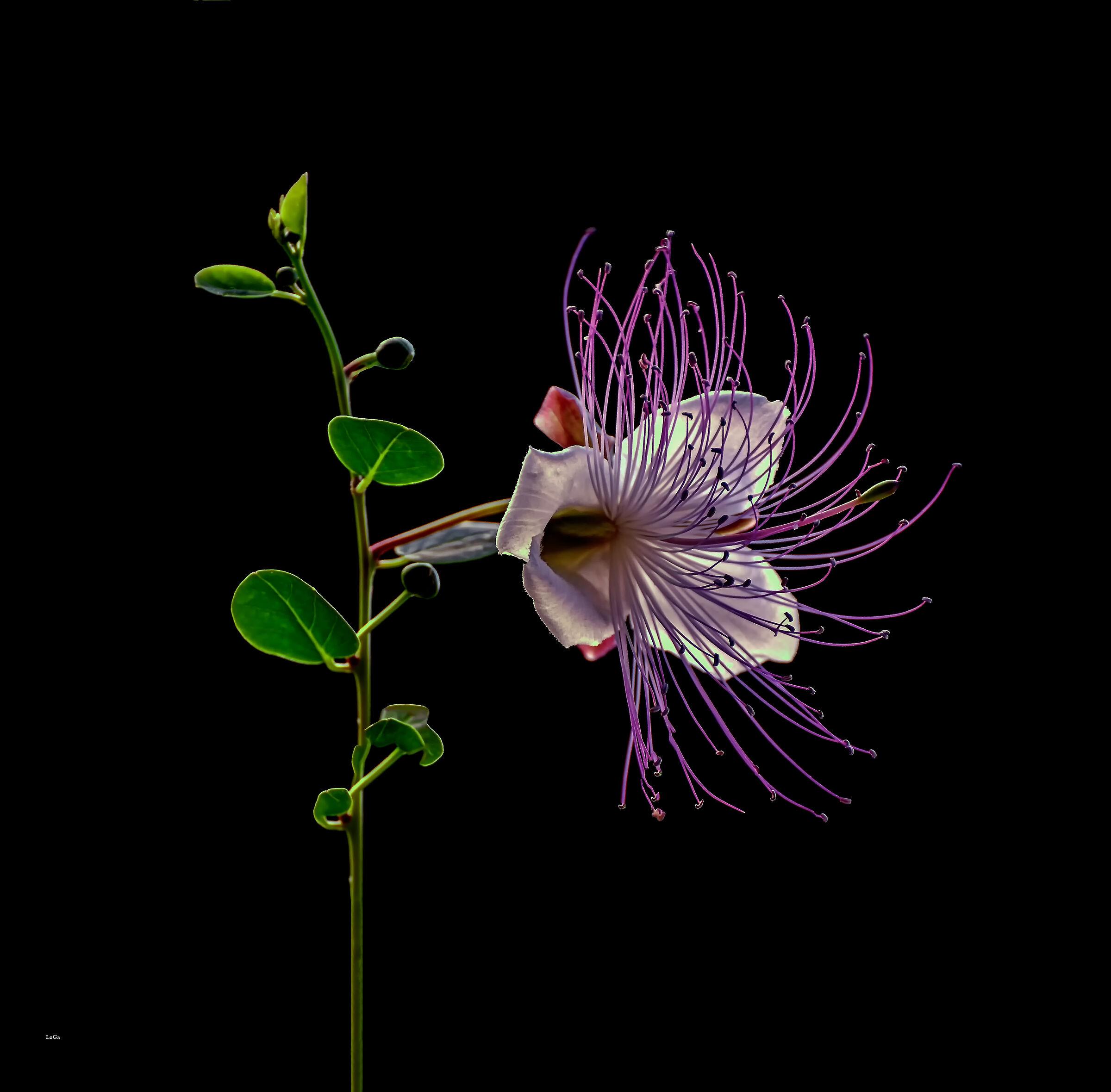 Fiore di cappero...