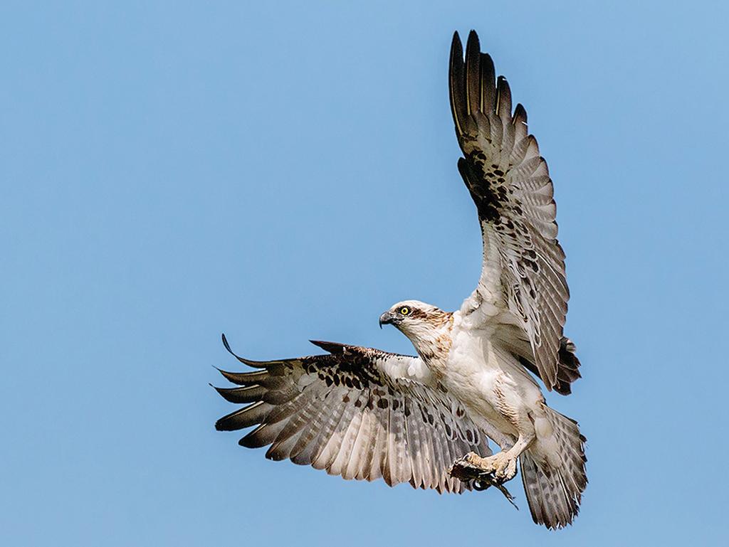 osprey with fish...
