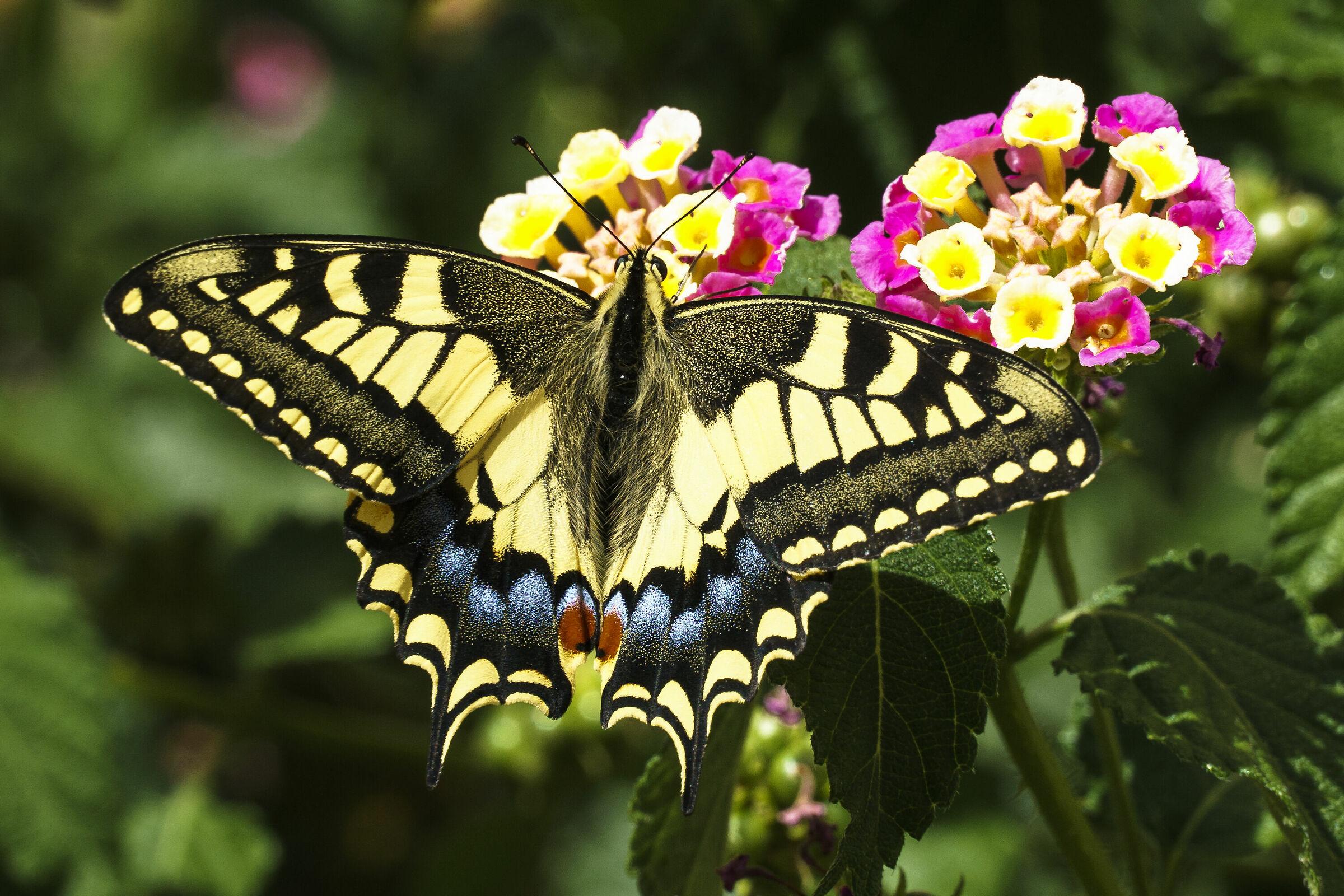 Swallowtail...