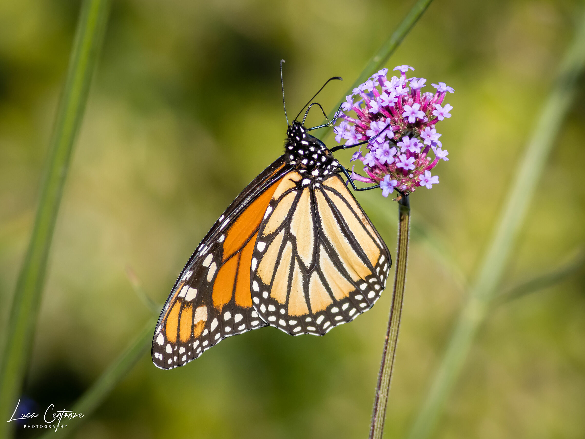 Monarch Butterfly, New...