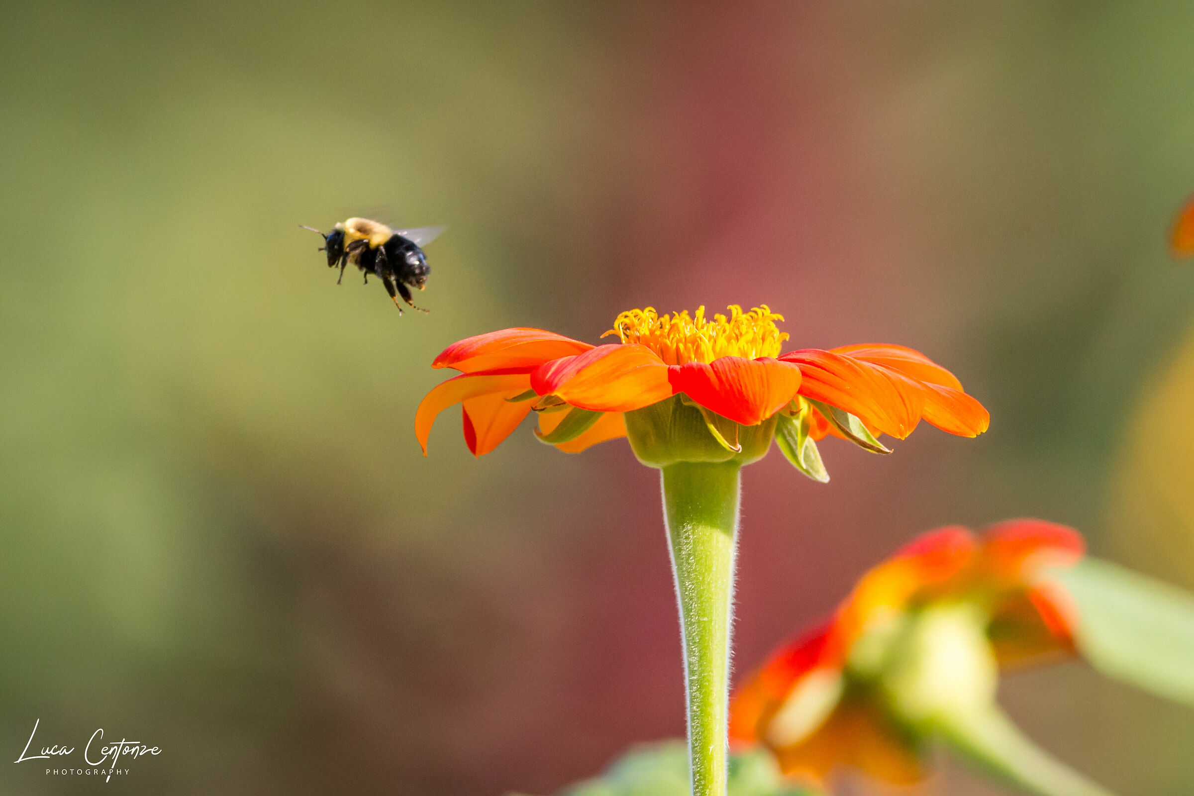 Bee landing on a Mexican Sunflower...