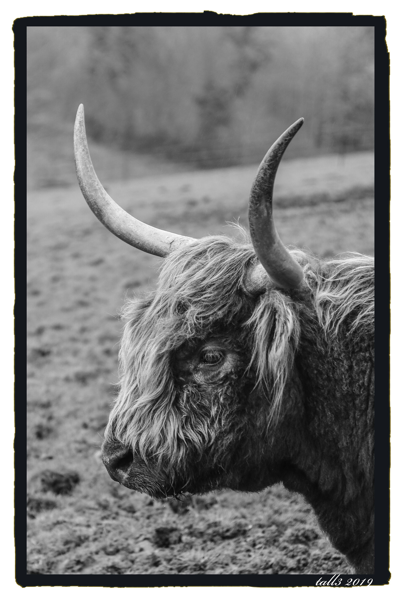 Mucca delle highlands...