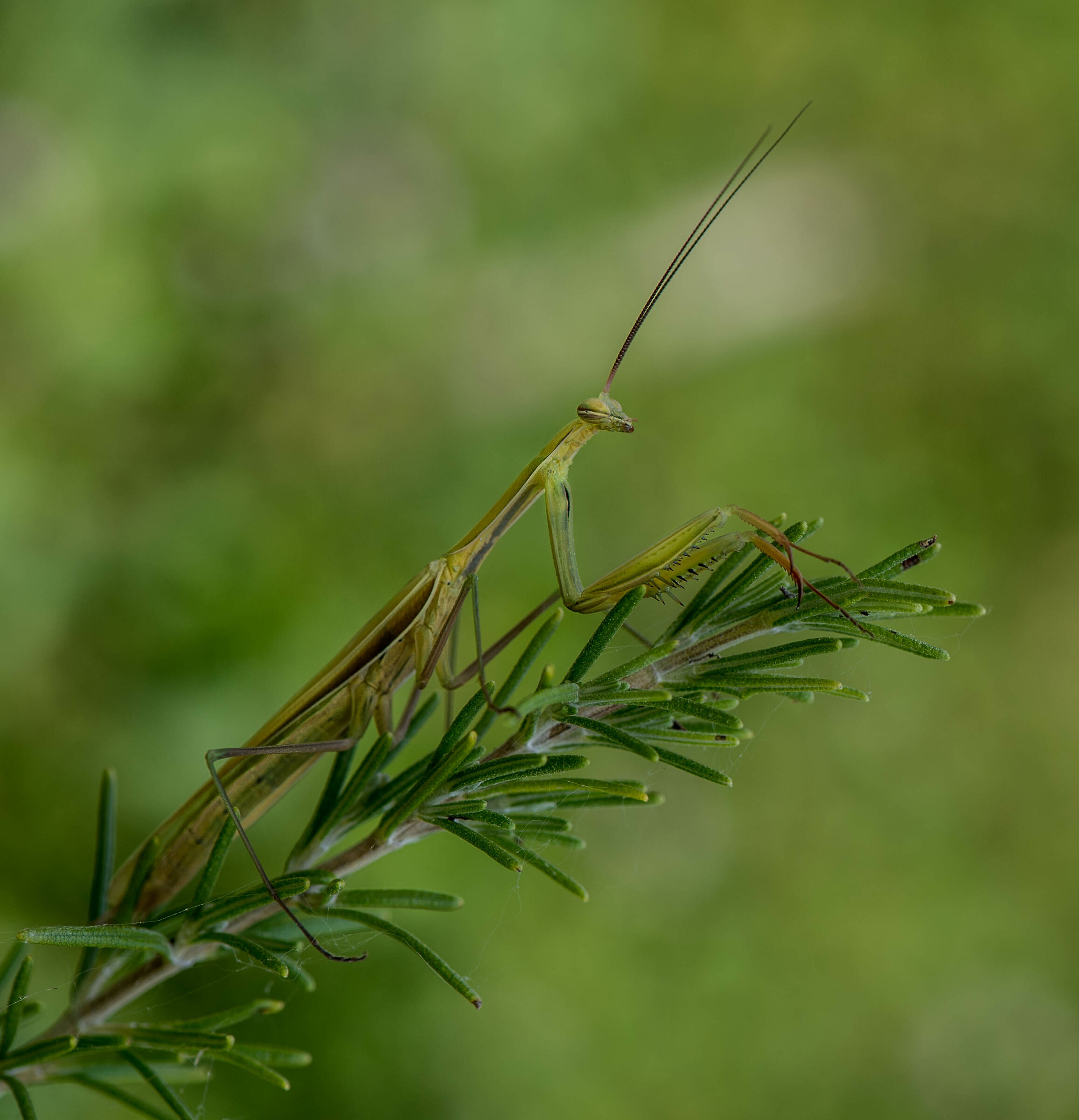 Religious mantis on rosemary....