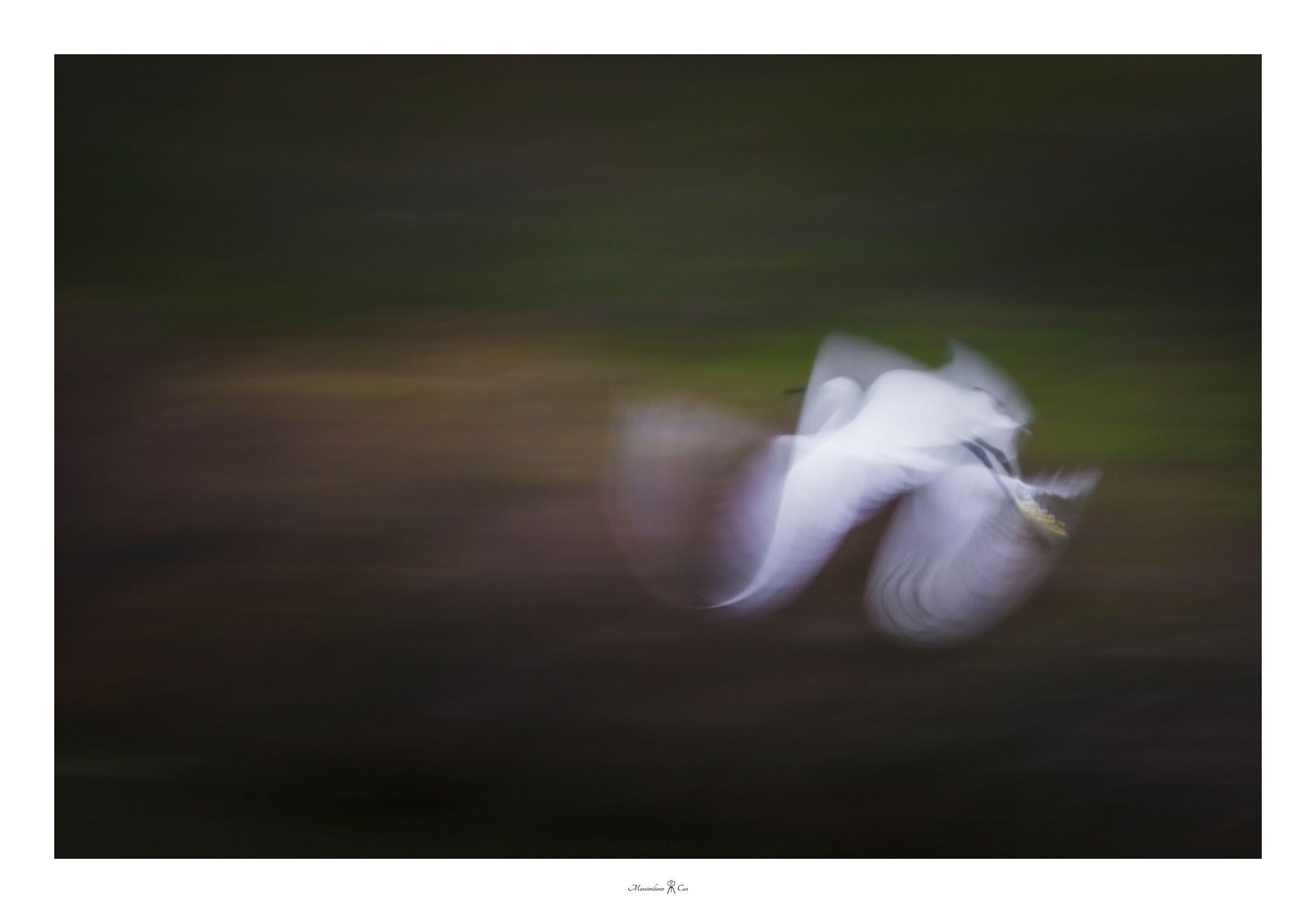 Egrets in flight...