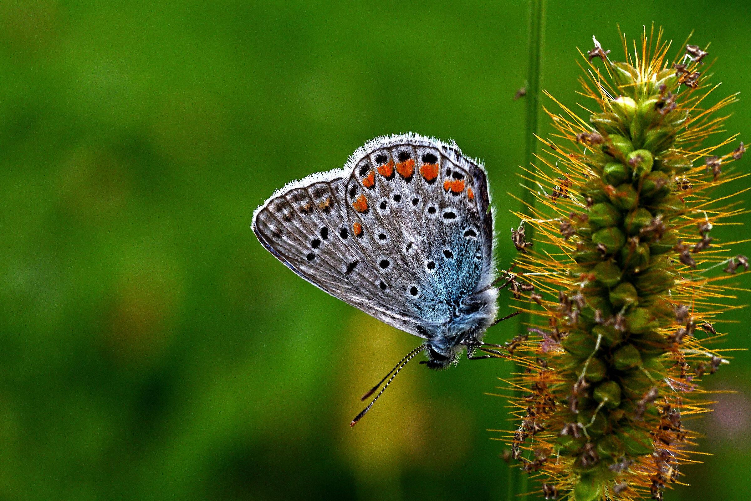 Polyommatus Icarus...