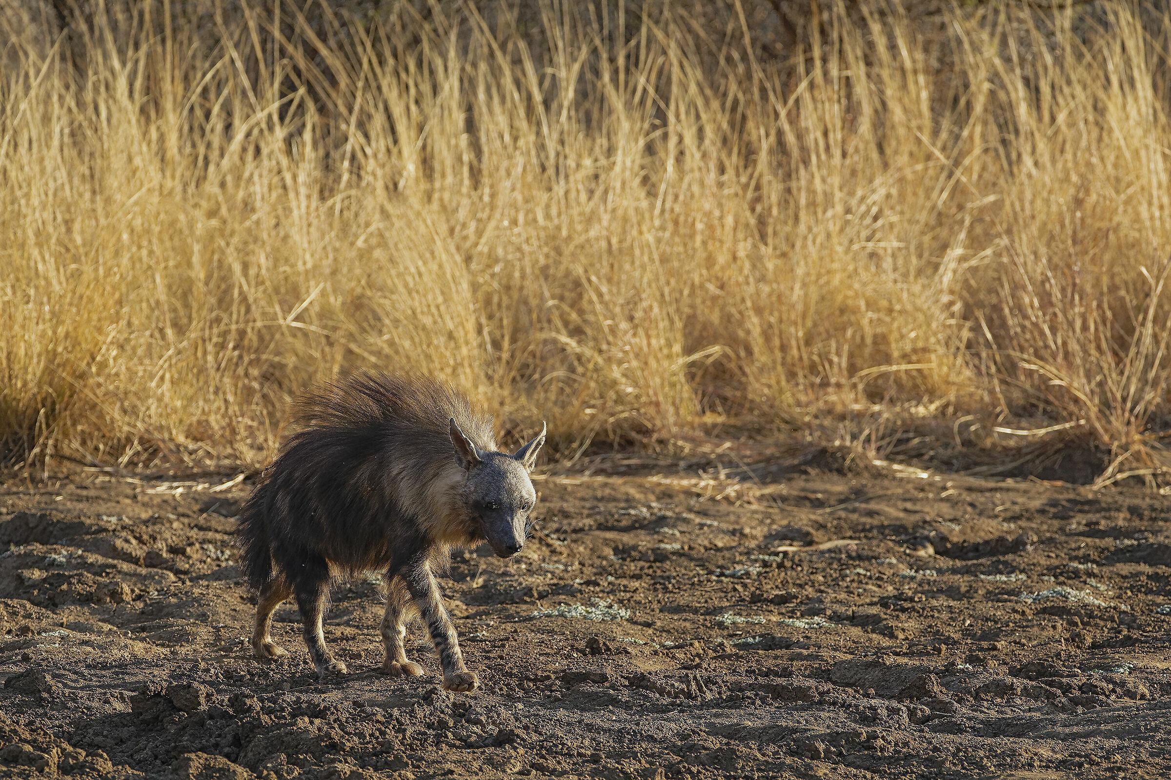 hyena brunette...