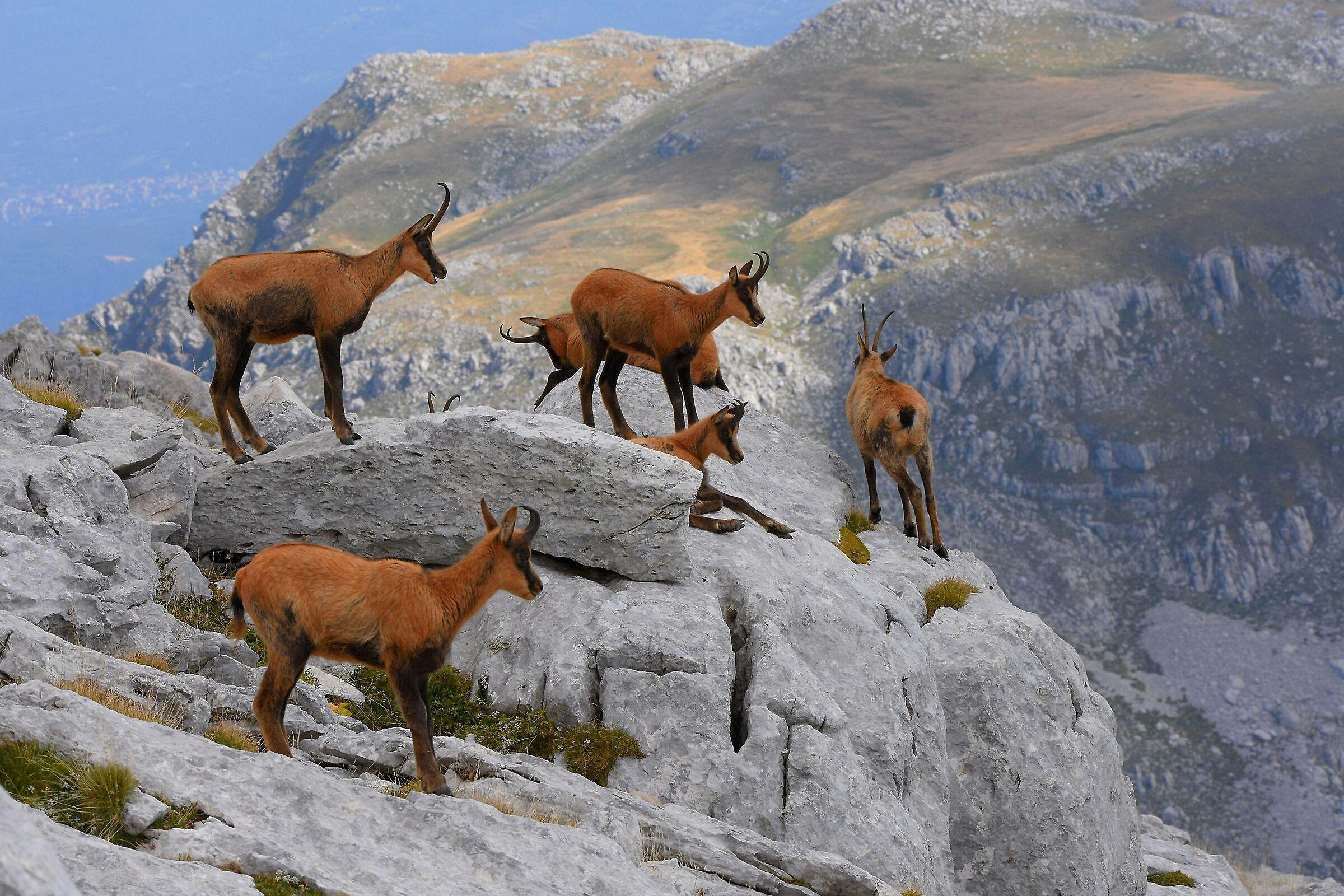 High-altitude life (Abruzzo chamois)...