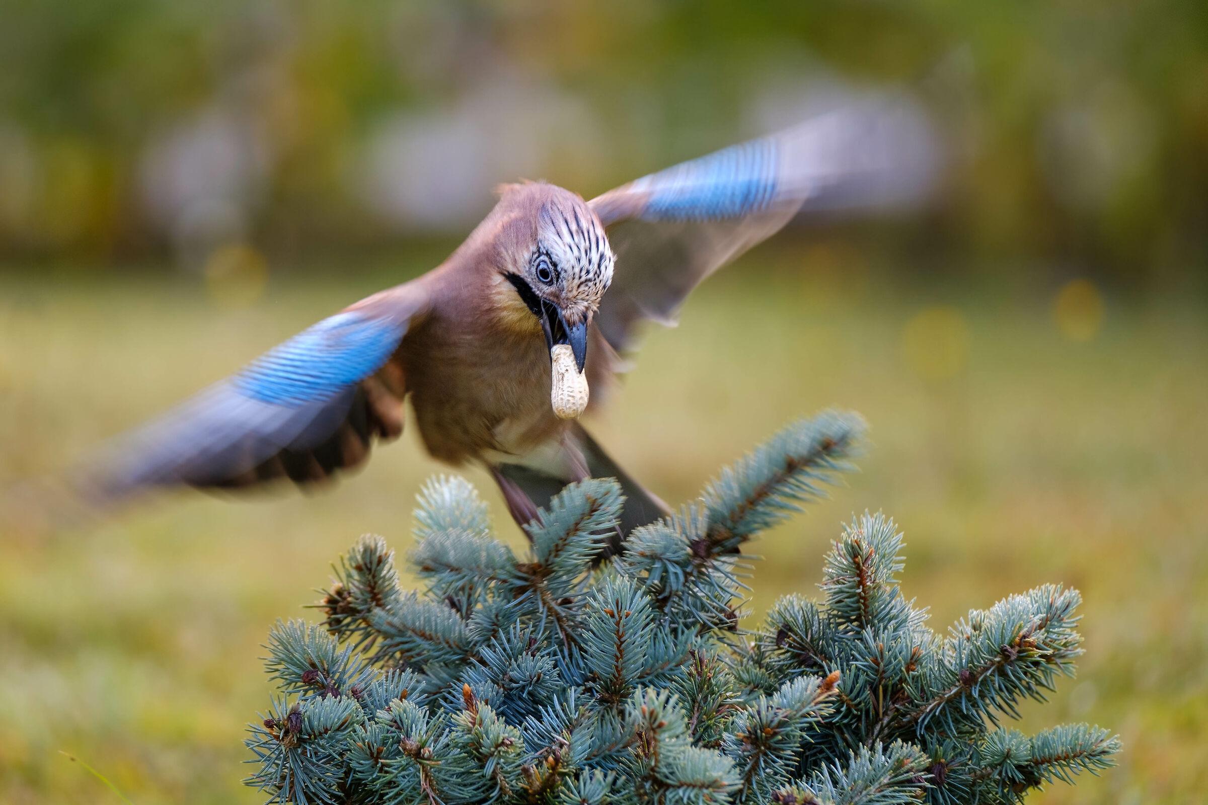 Pre-winter foraging...
