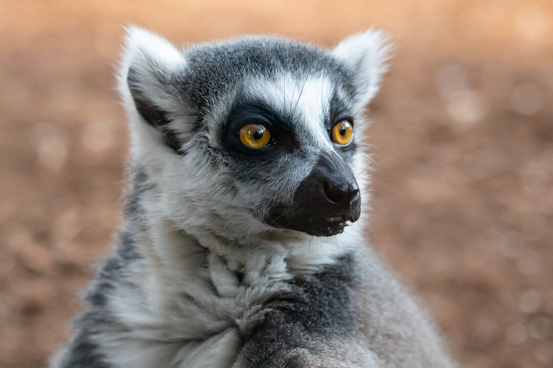 Lemure...
