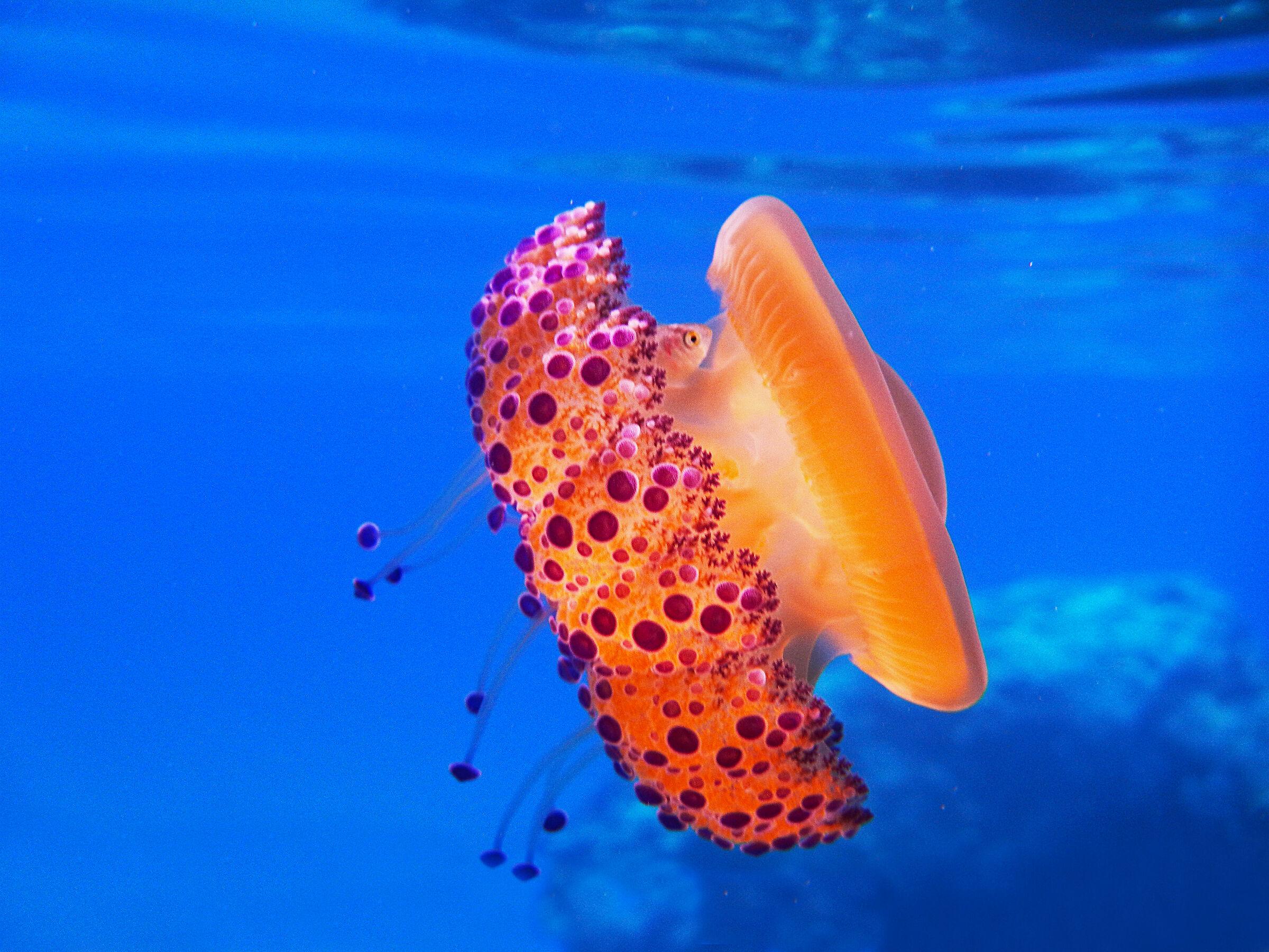Cassiopeia jellyfish...