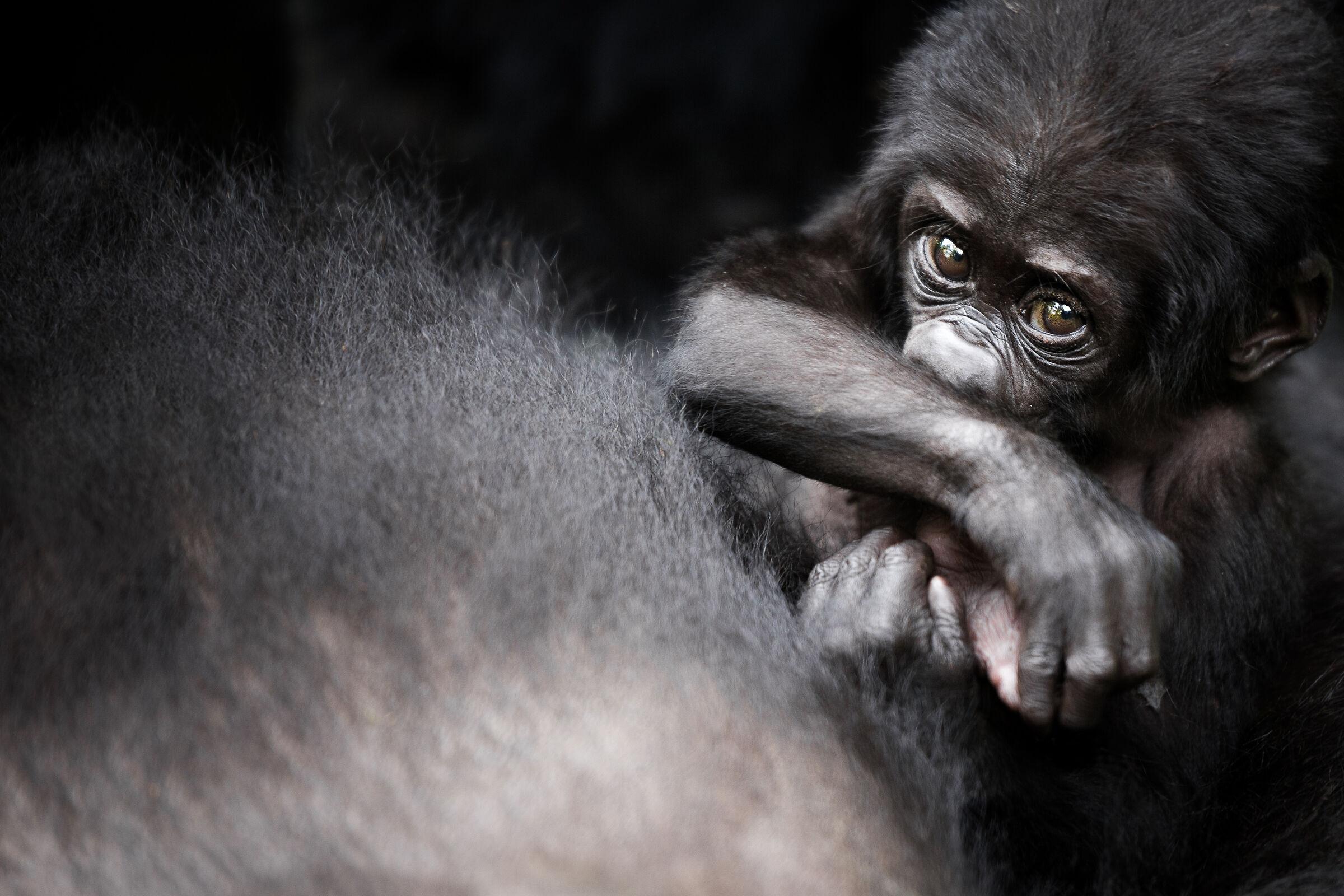 Mountain Gorilla...