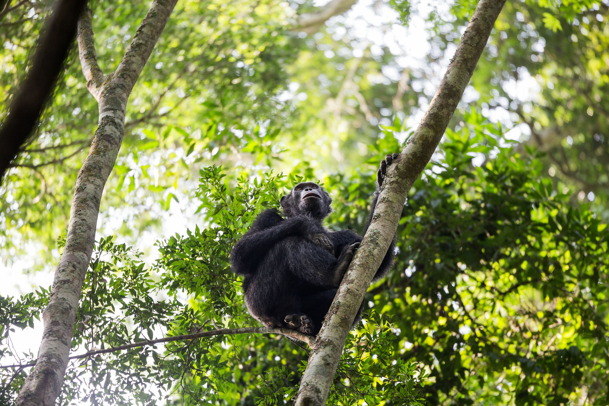 Chimpanzees...