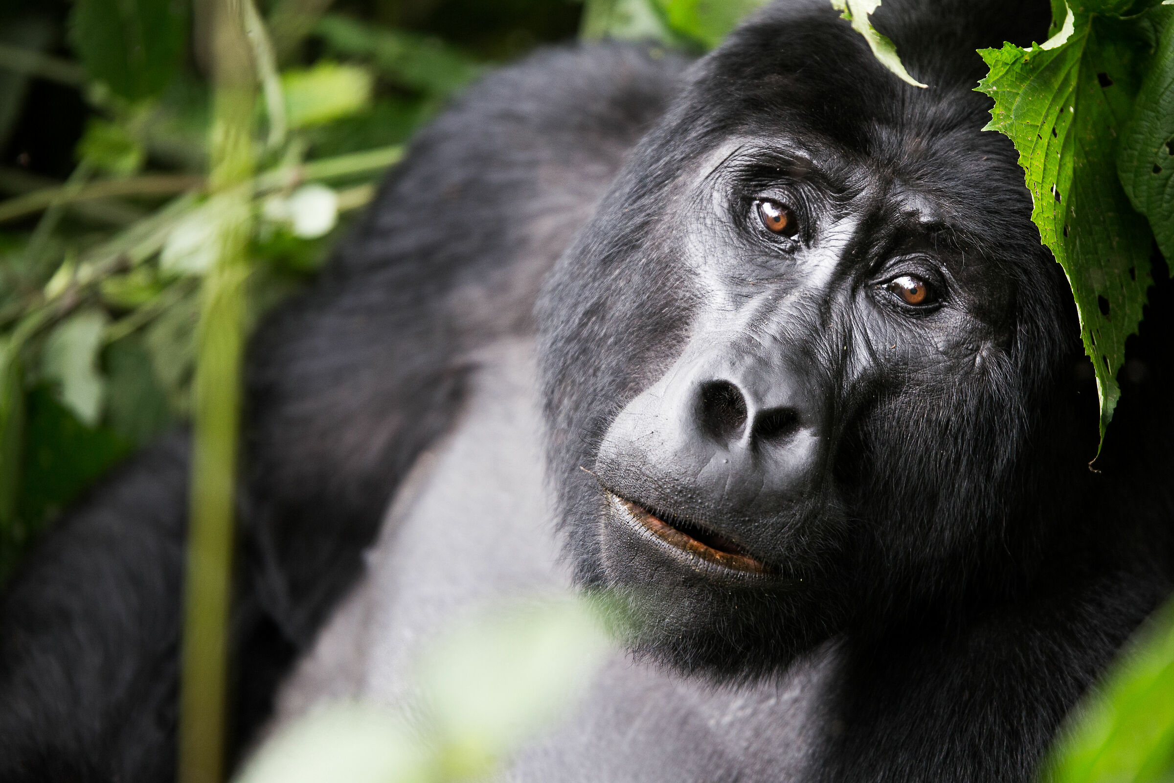 Male mountain gorilla...