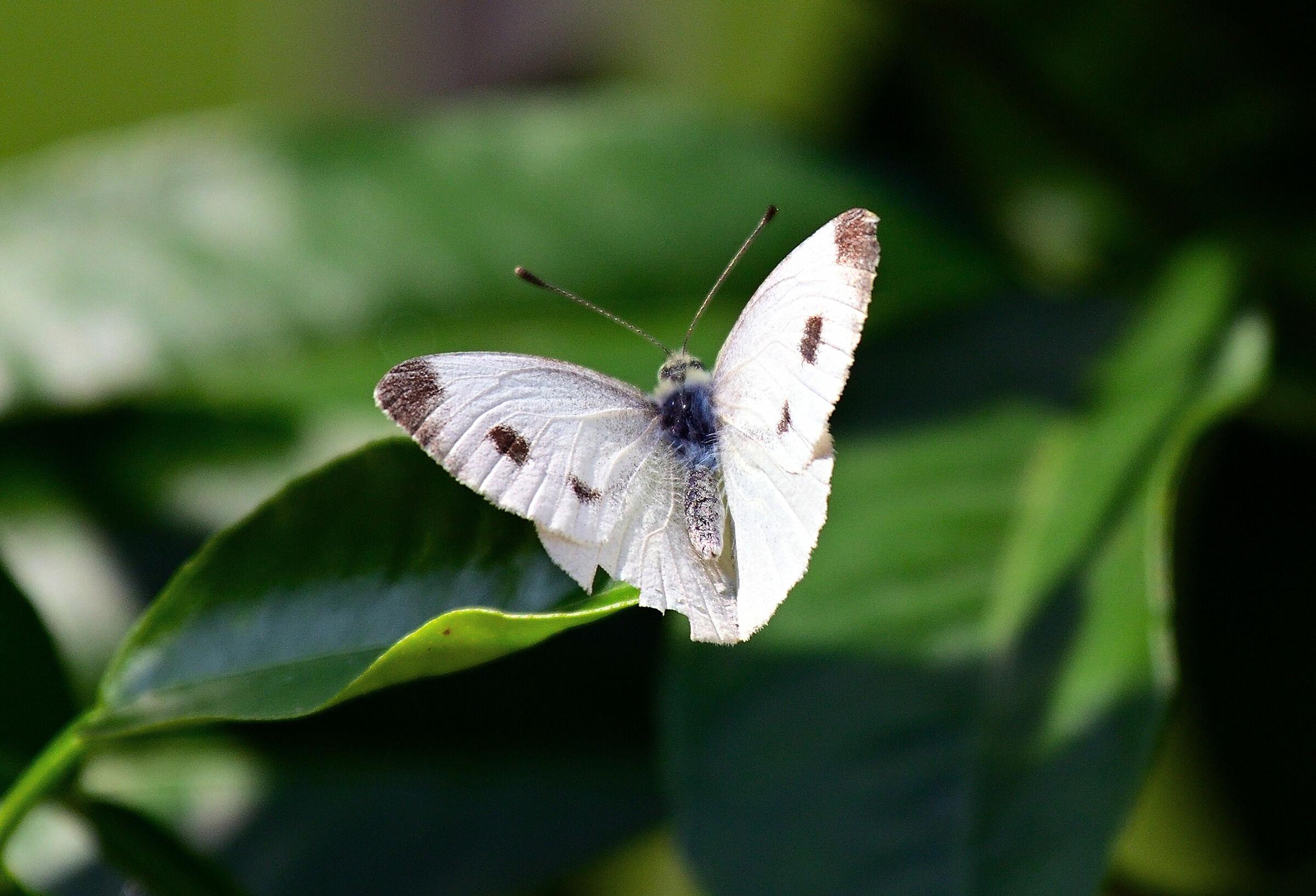 Major Caulaia (Pieris brassicae)...